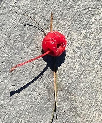 penny_maraschino cherry.jpg