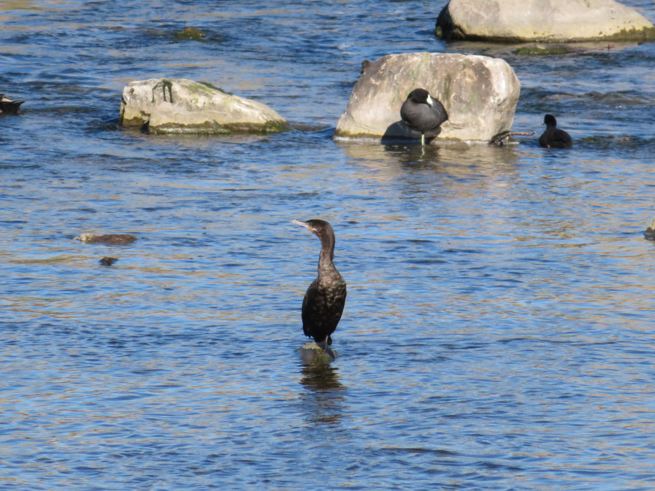 Cormorant and coots