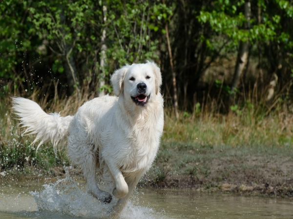 Maremma sheepdog … photo nicked from  https://www.dogdojo.org/big-white-dog-breeds/