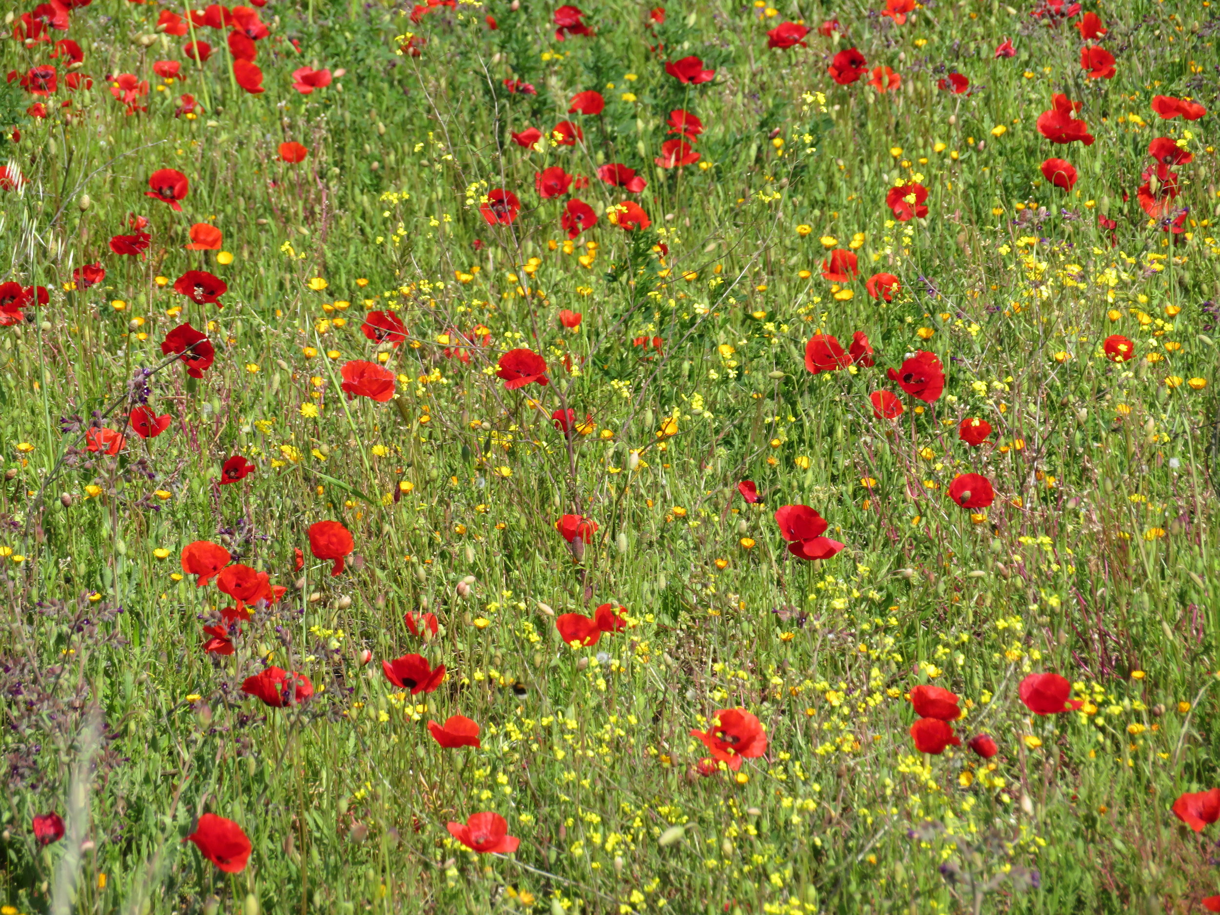 field of poppies.JPG