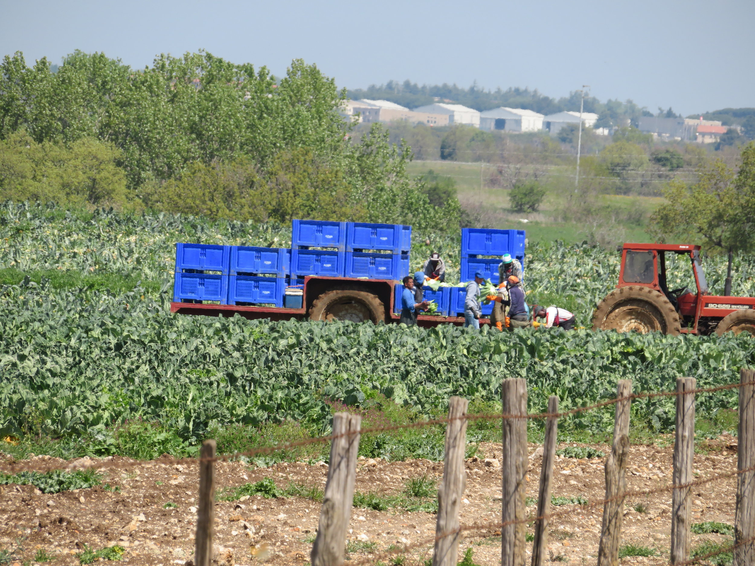 The soil is rich and the growing season is long. Farm workers are already harvesting cabbage here.