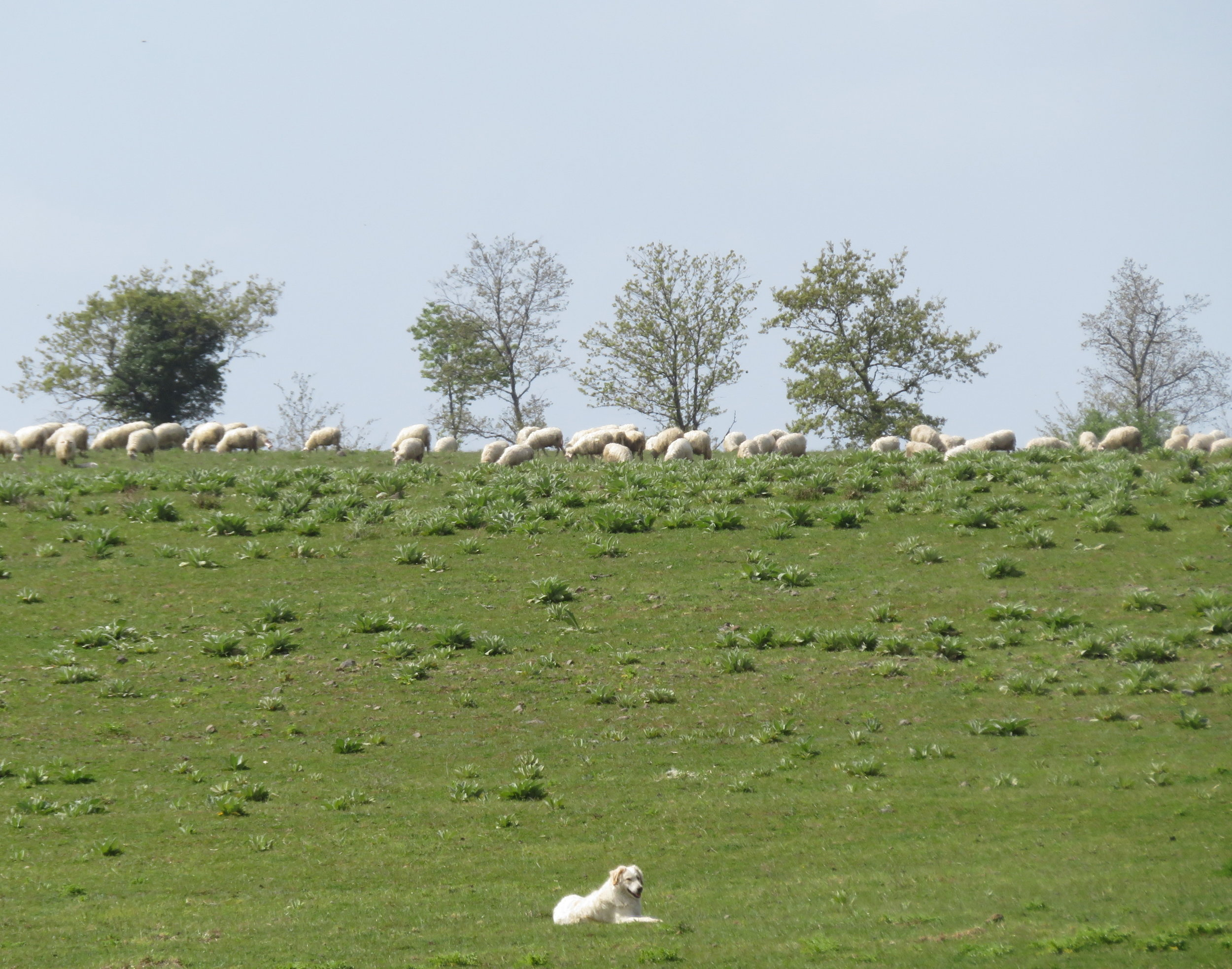 A herd of sheep stood out sharply in contrast to the bright green fields in which they were grazing, their guard dog taking the opportunity for a break from his duties.