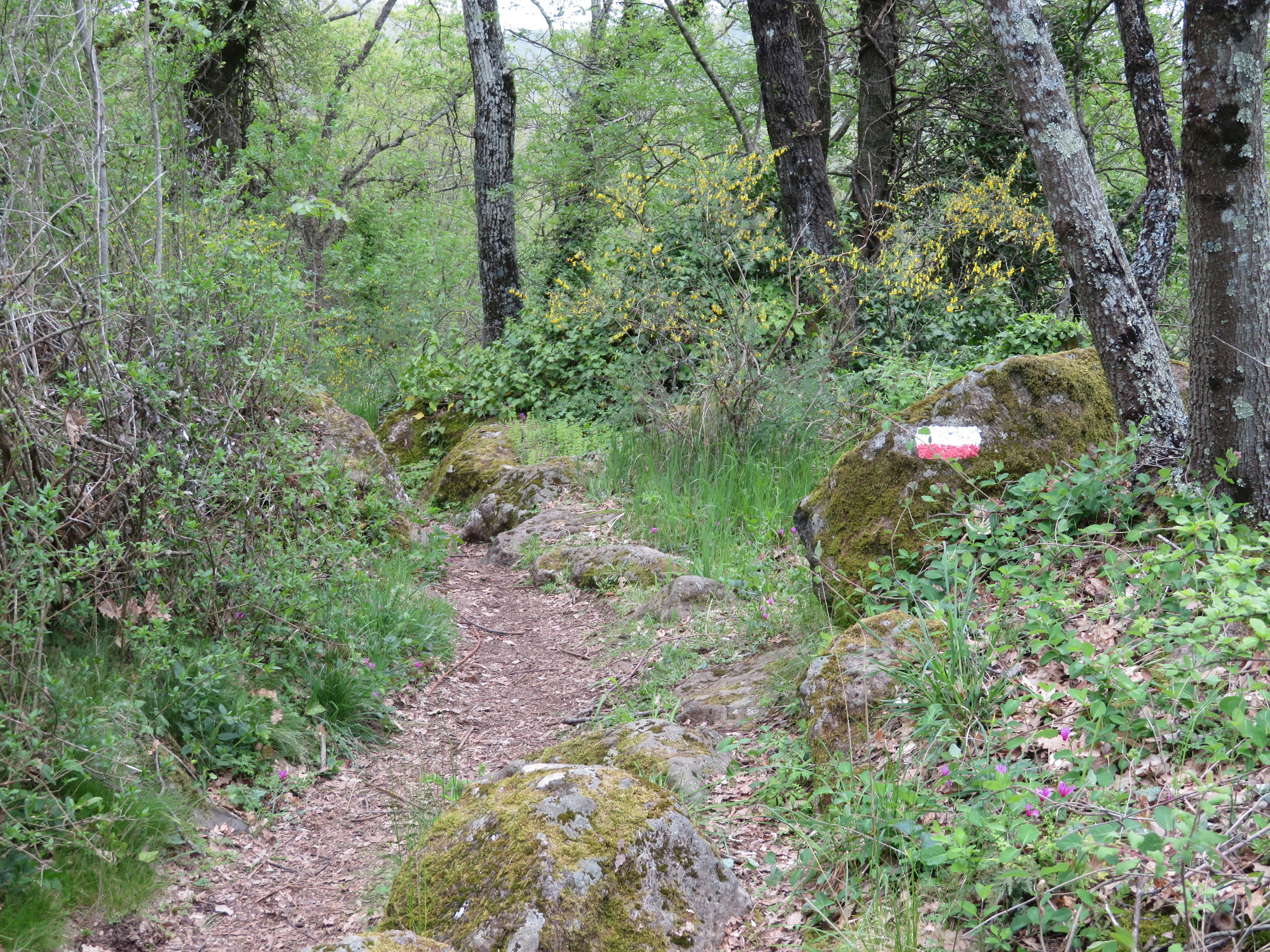 A woodsy Via Francigena path. Note the red/white trail marker on the mossy rock. We constantly searched for them to insure we were still on the right track.