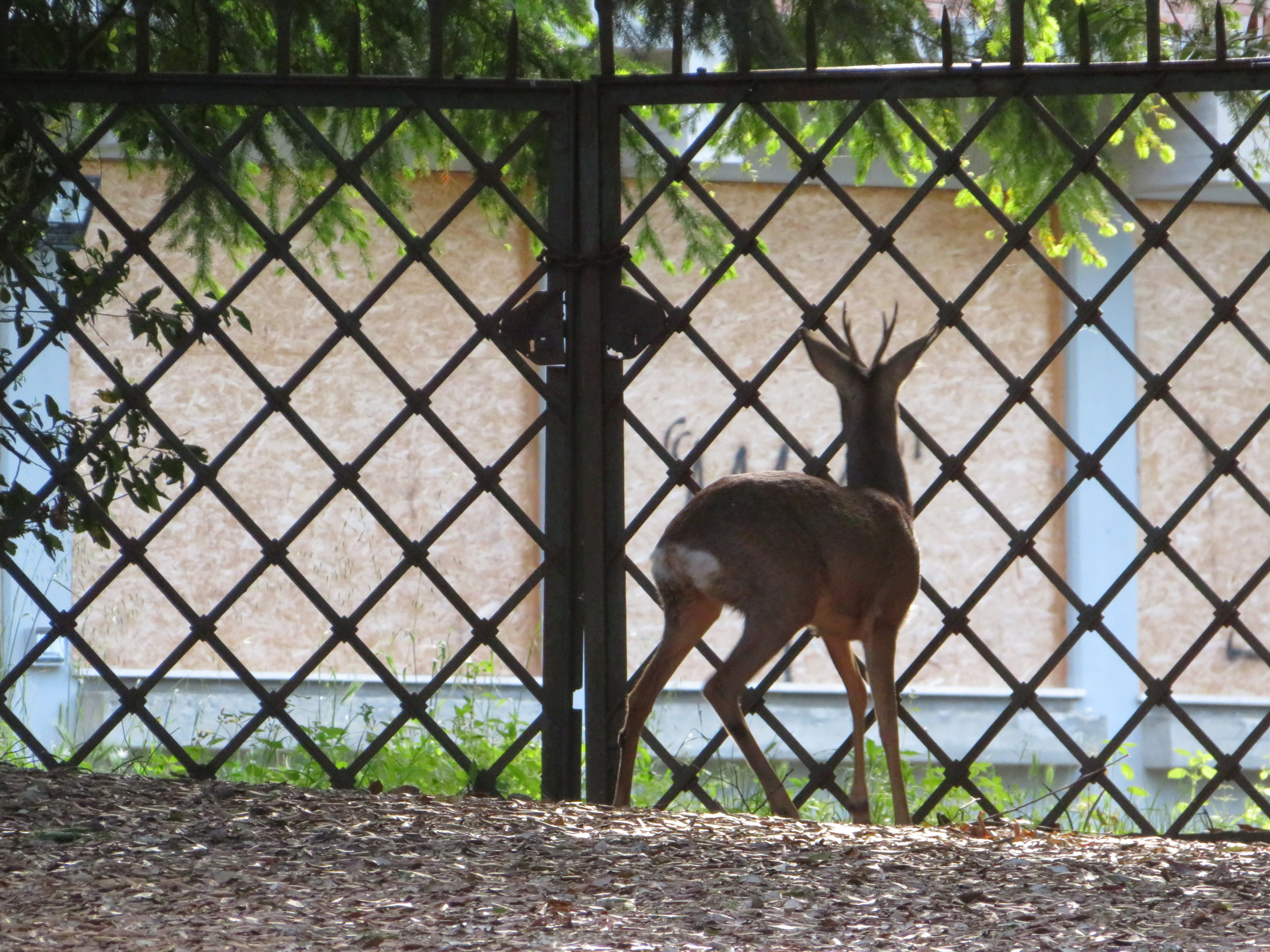 We saw three deer today… fleetingly. They're small and fast. This guy was outside a villa fence and couldn't figure out where to go to continue on his way.