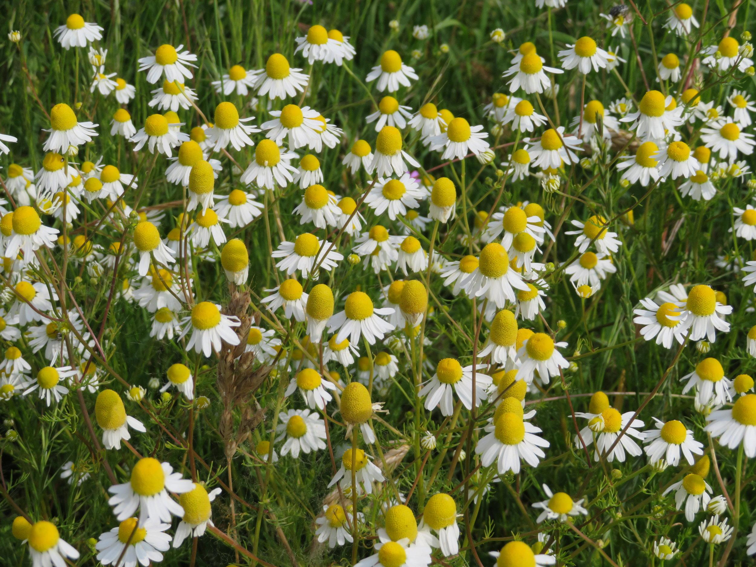A field of chamomile … tea, anyone?