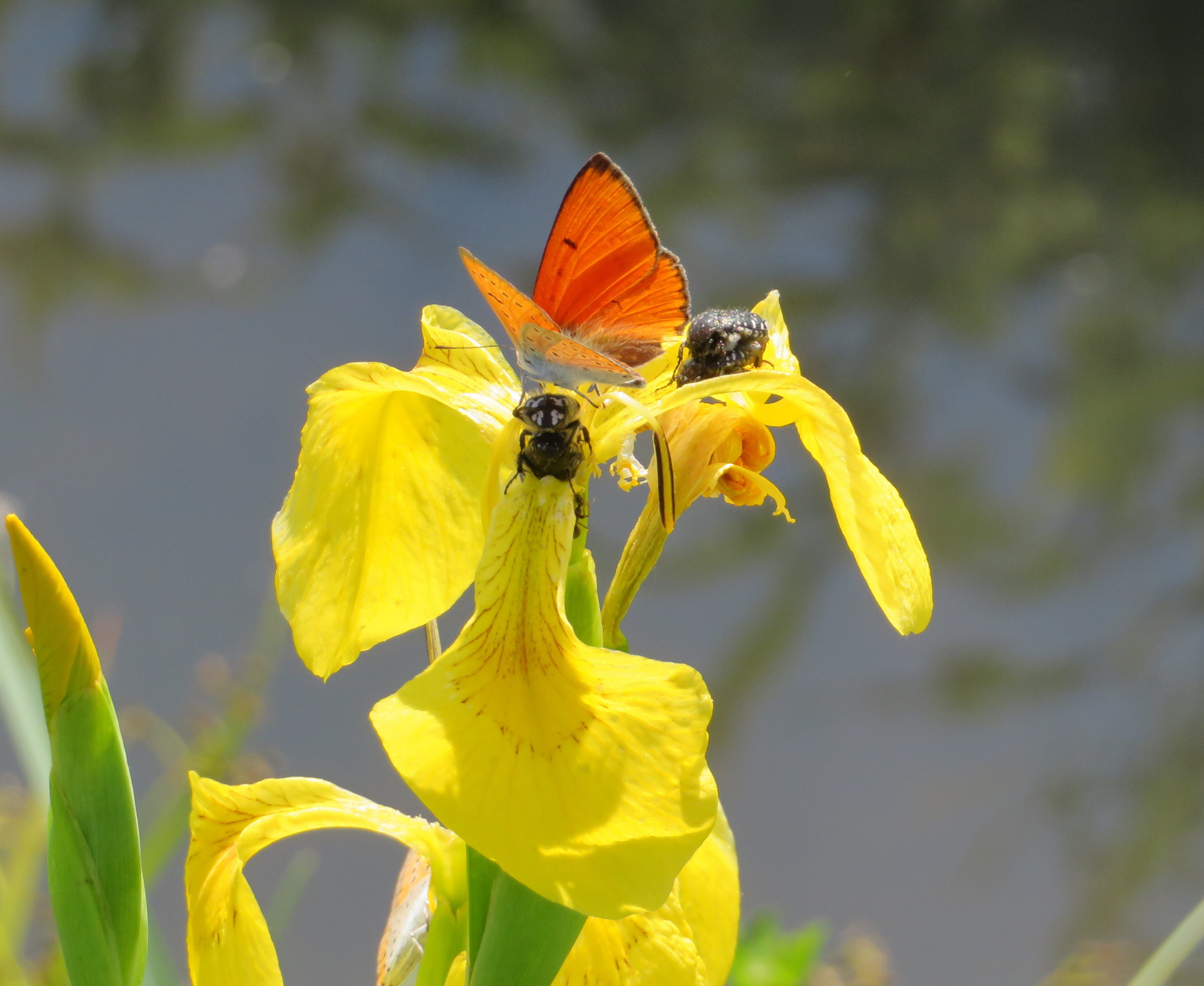 Yellow iris with friends