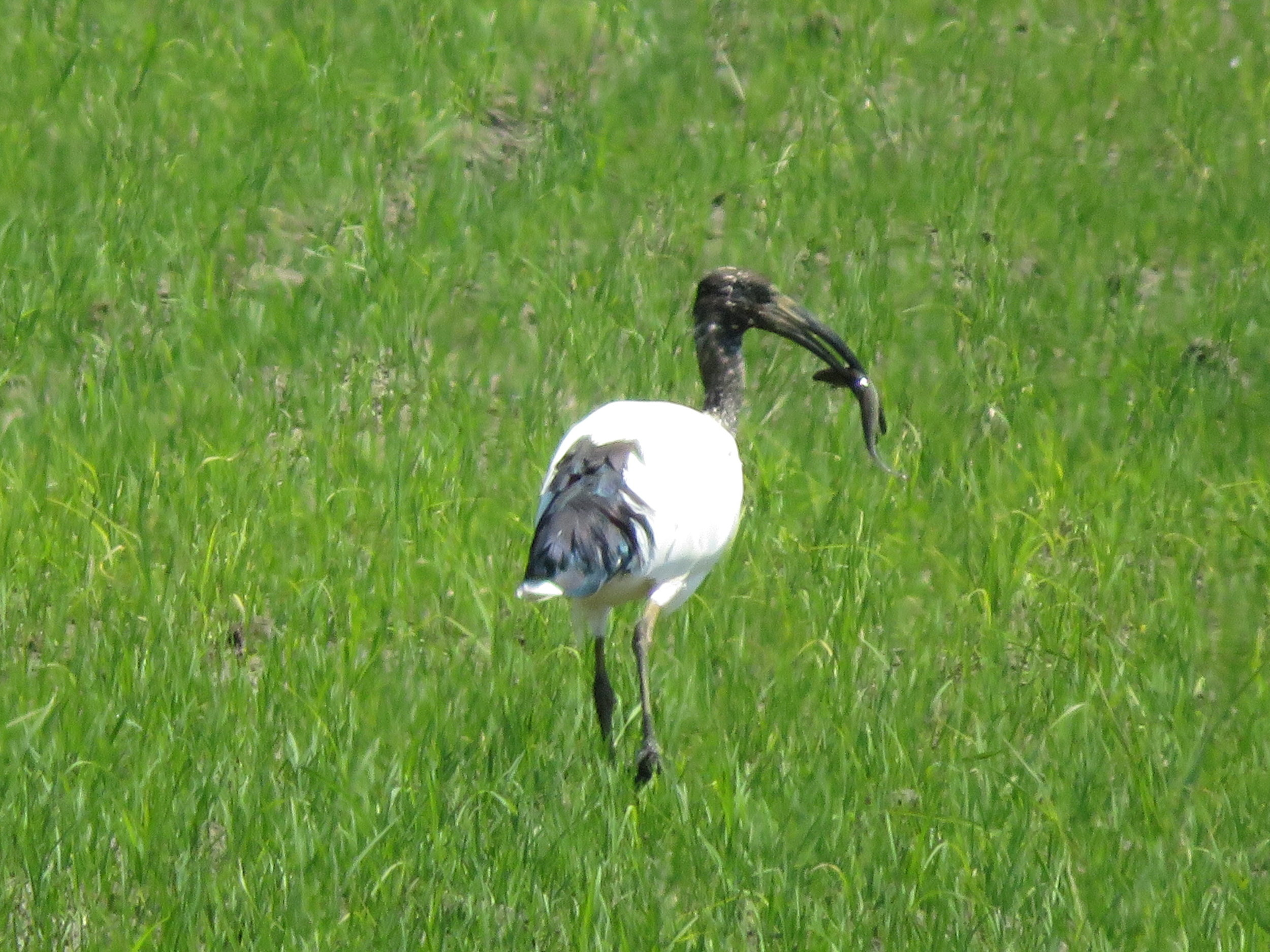 Sacred ibis with a fish