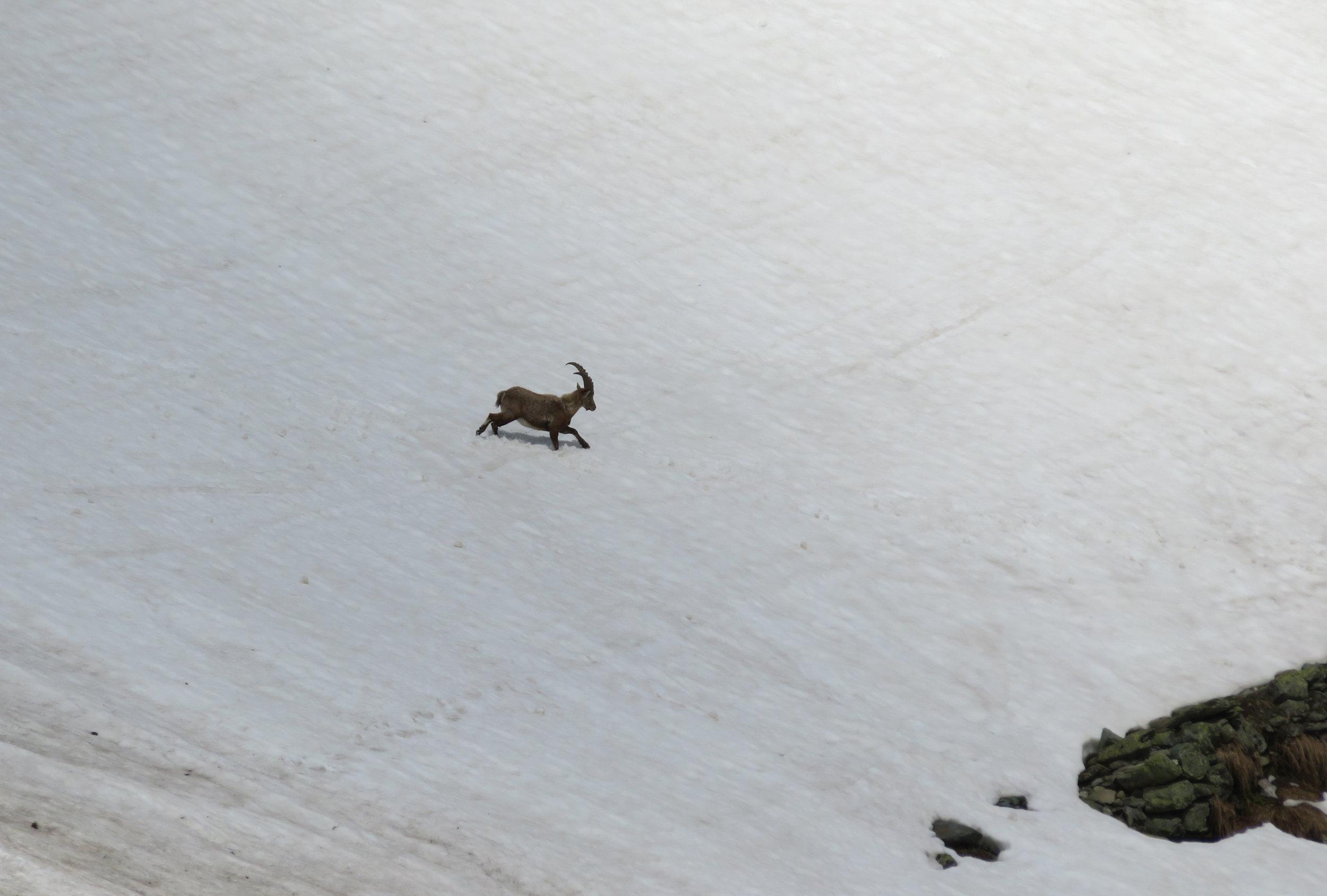 Ibex crossing the snow