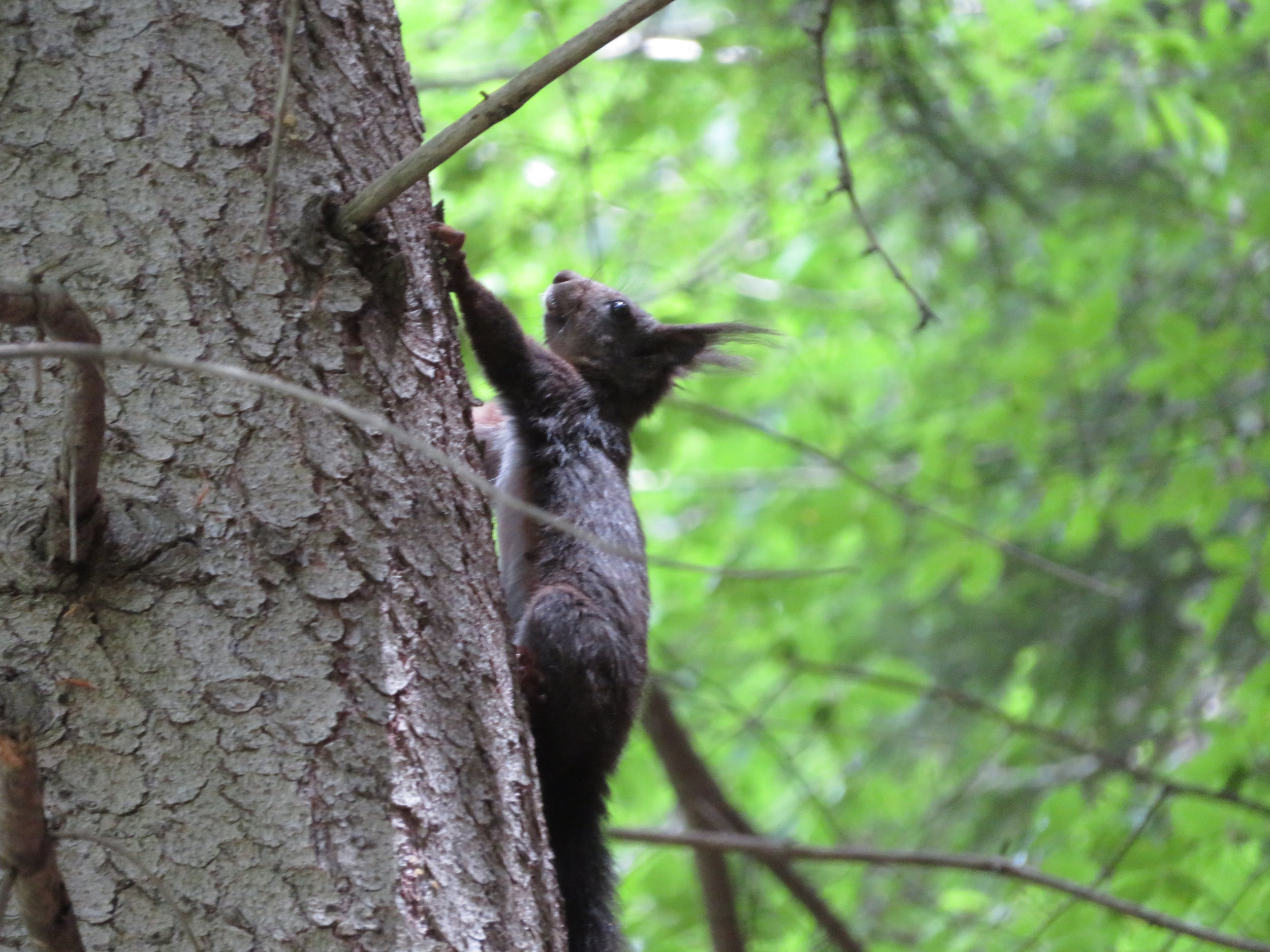 A Bavarian alpine squirrel … check out the those great ear tufts!