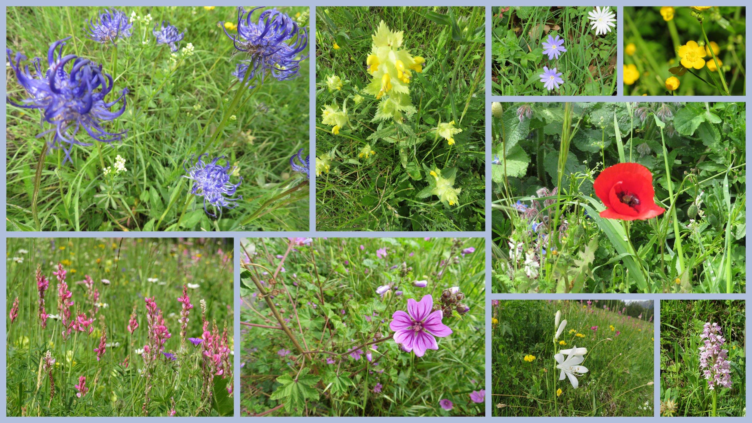 alpine flowers.jpg