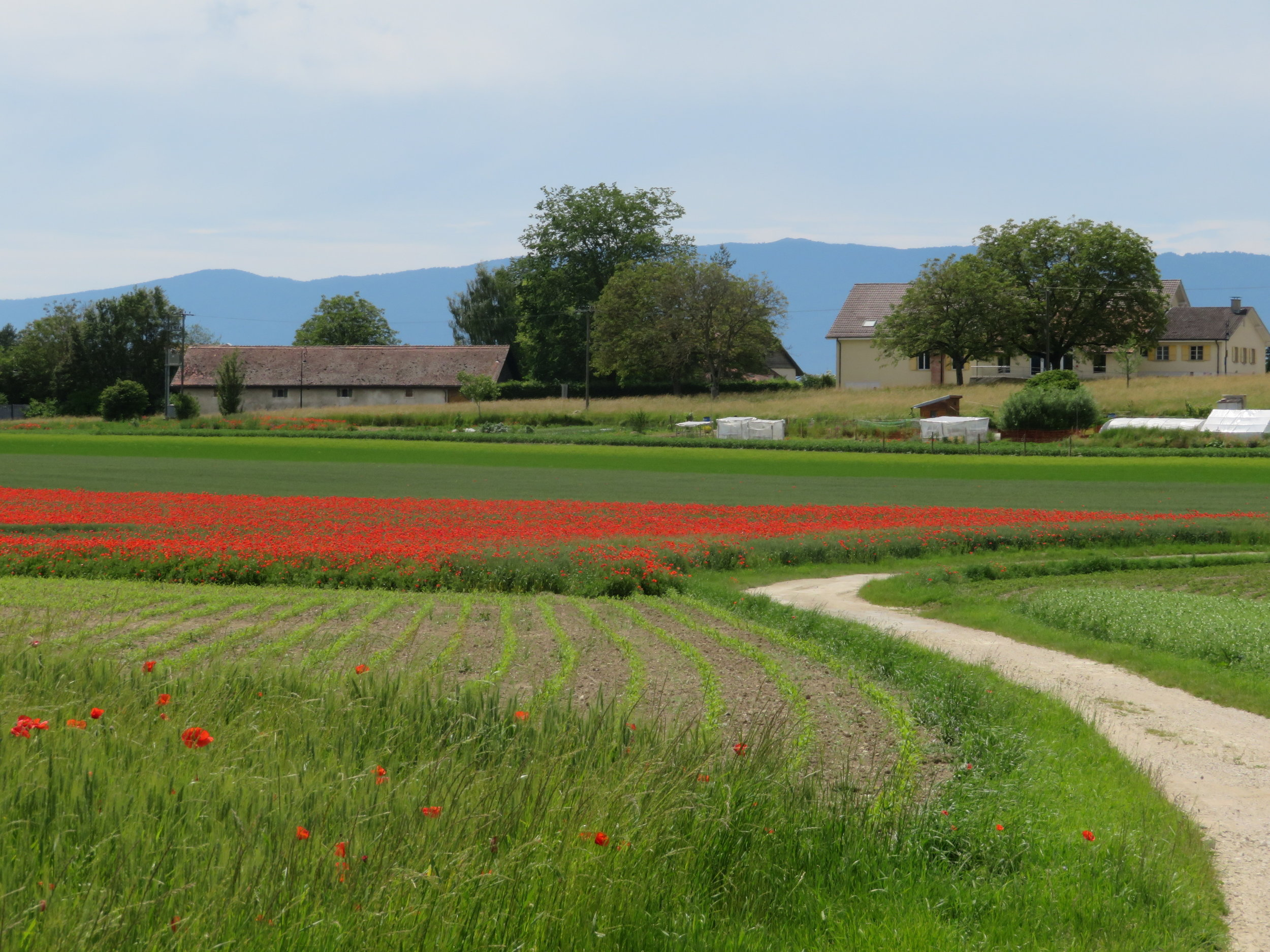 Pastoral scenes and fields of poppies