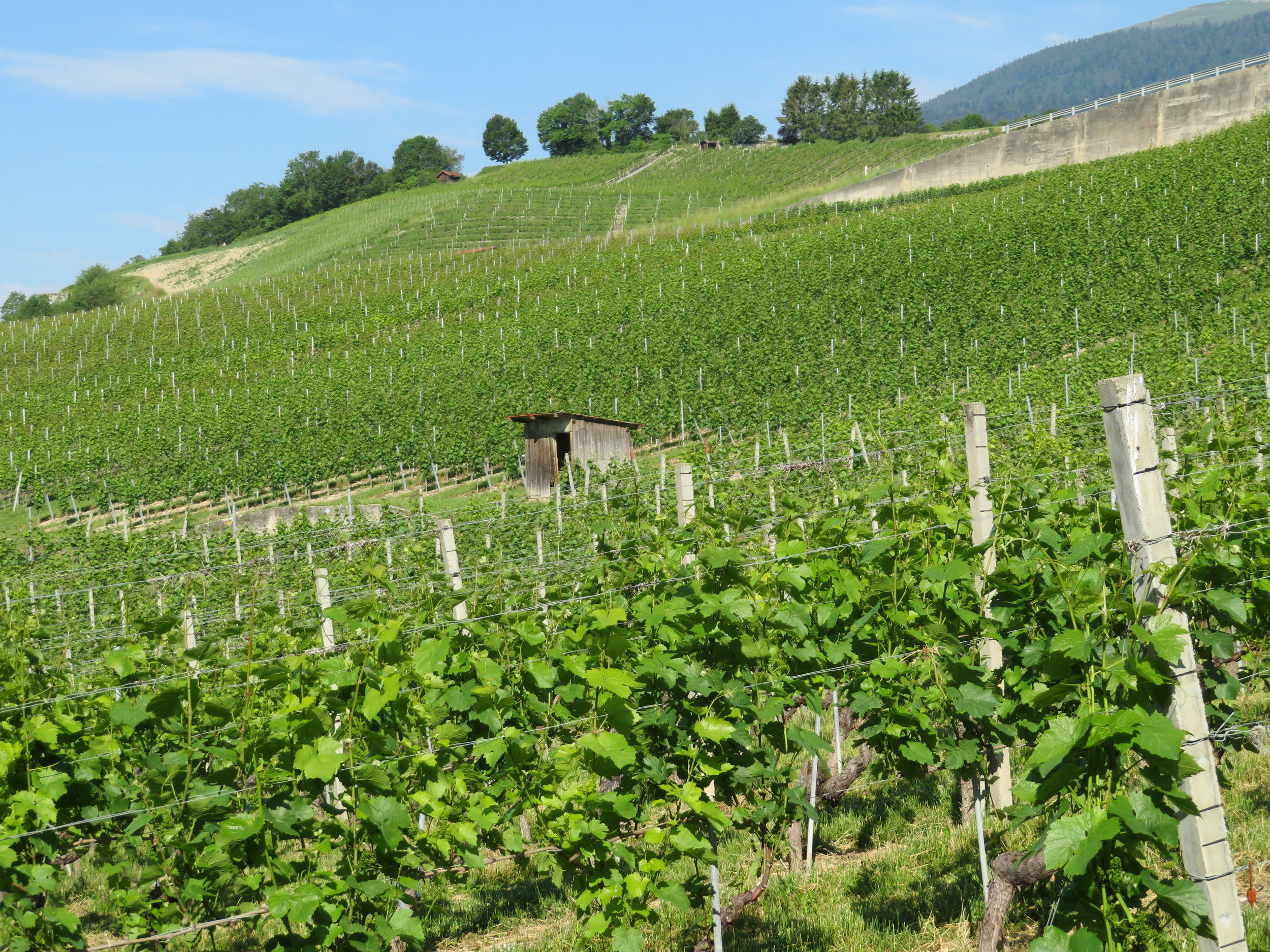 We walked through several vineyards, all neat and tidy on the steep hillsides.