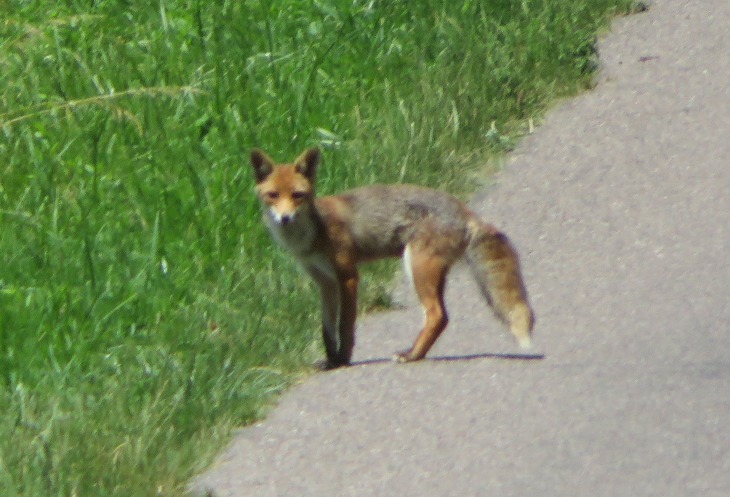 A highlight of this day … we saw a fox!
