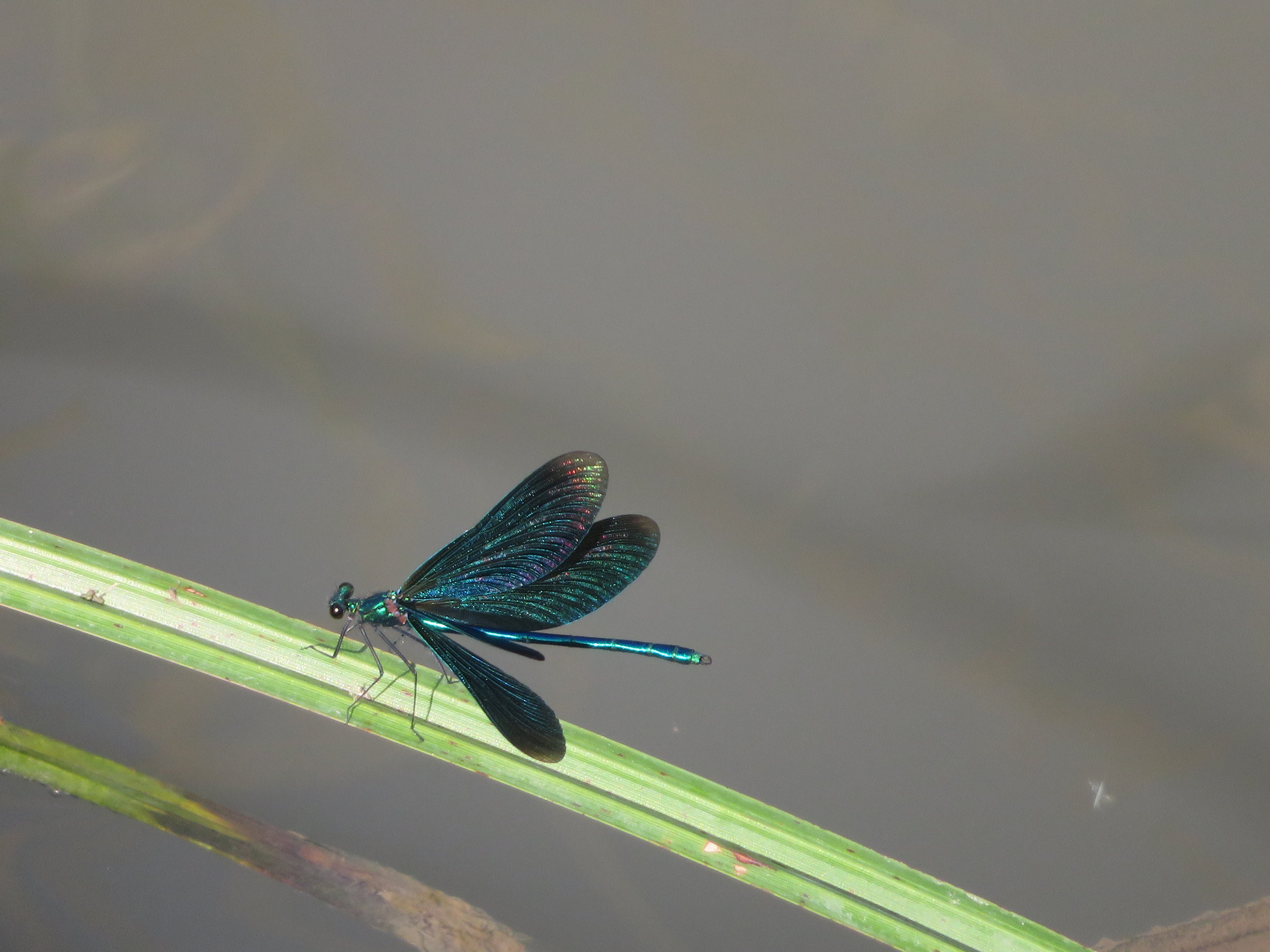 fontenelay-beaujeu_damselfly.JPG