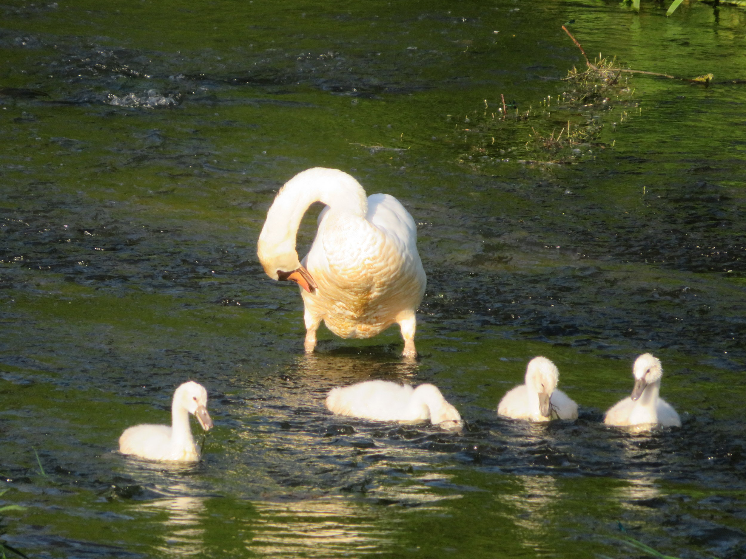 beaujeu-champlitte_swan and cygnets.JPG