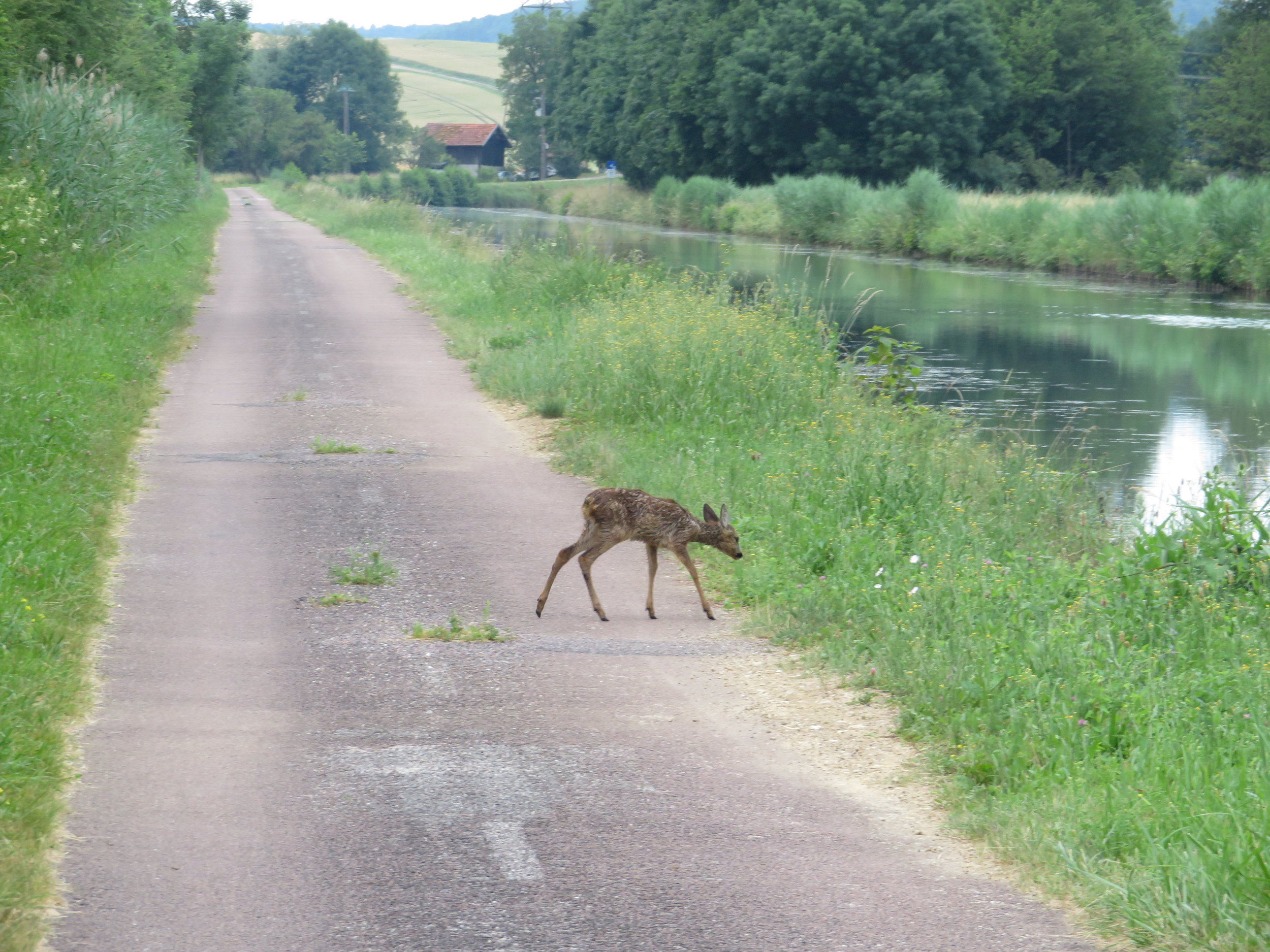 langres-villiers sur suize_fawn on canal.JPG