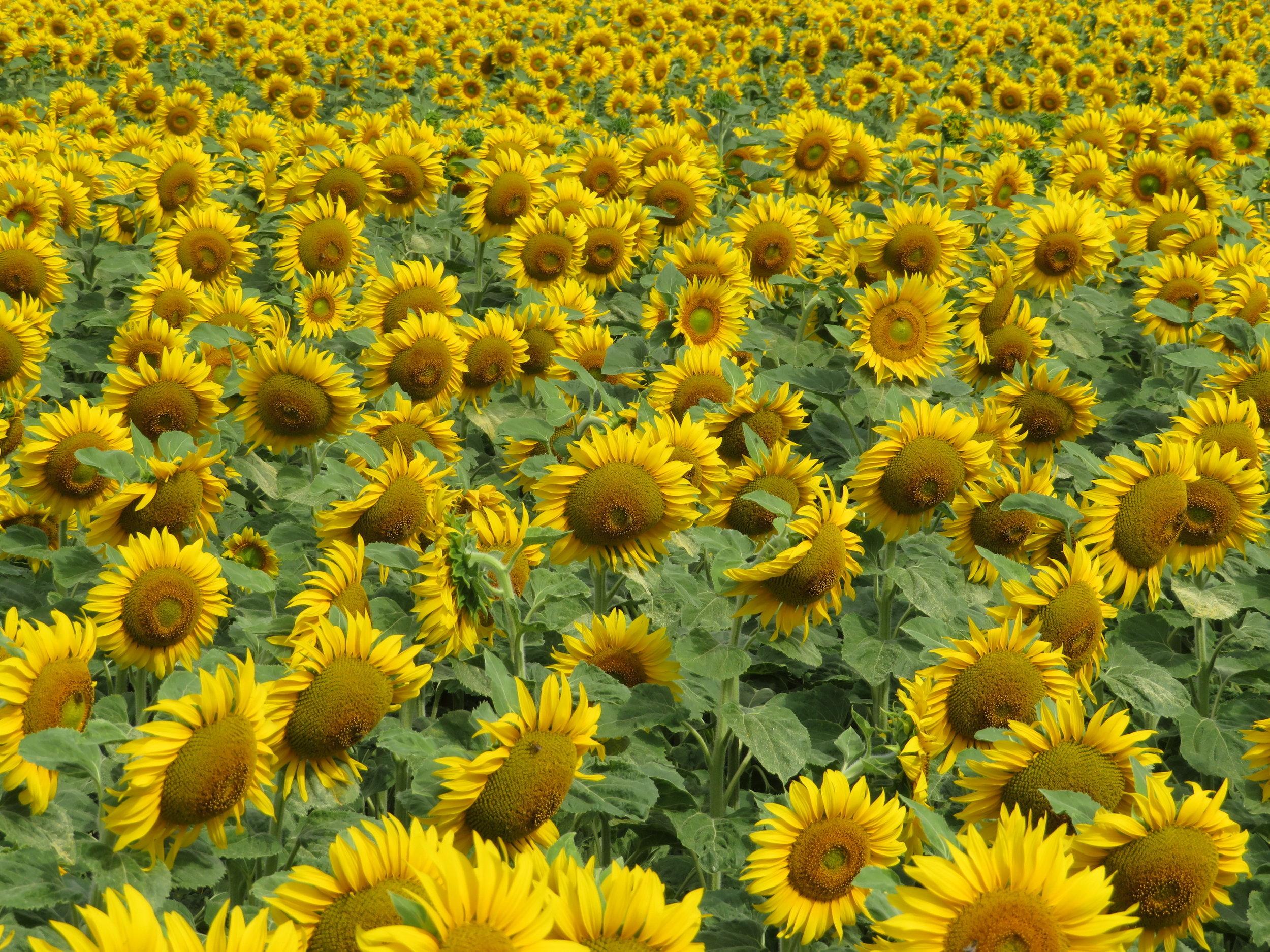 fields_sunflowers.JPG