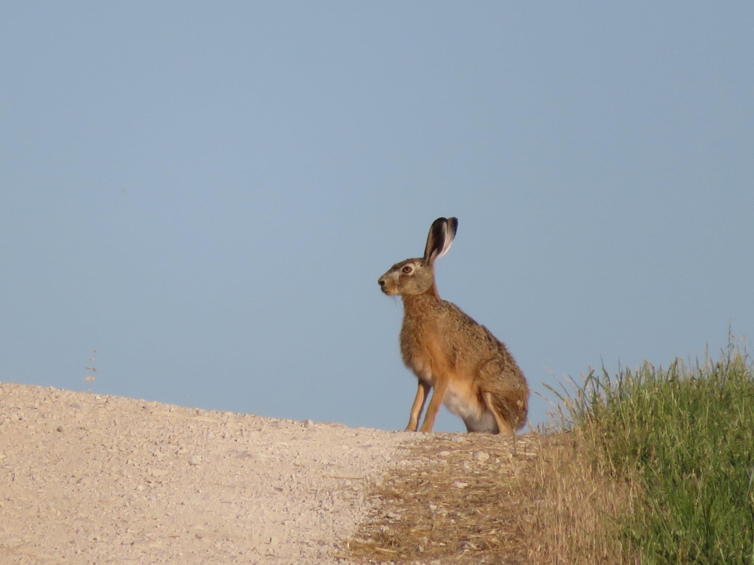 A giant hare? A jackelope? Maybe a long eared kangaroo?