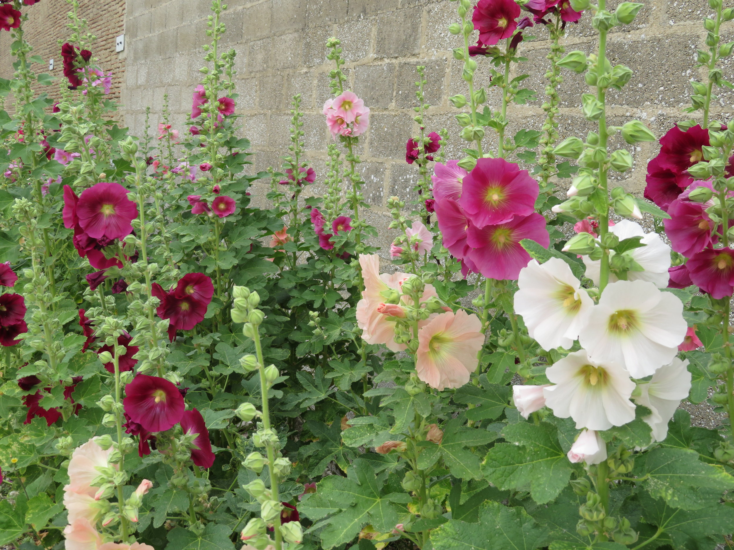 Hollyhocks seem to be the prevalent cultivated flower here and they grew profusely in everyone's garden.