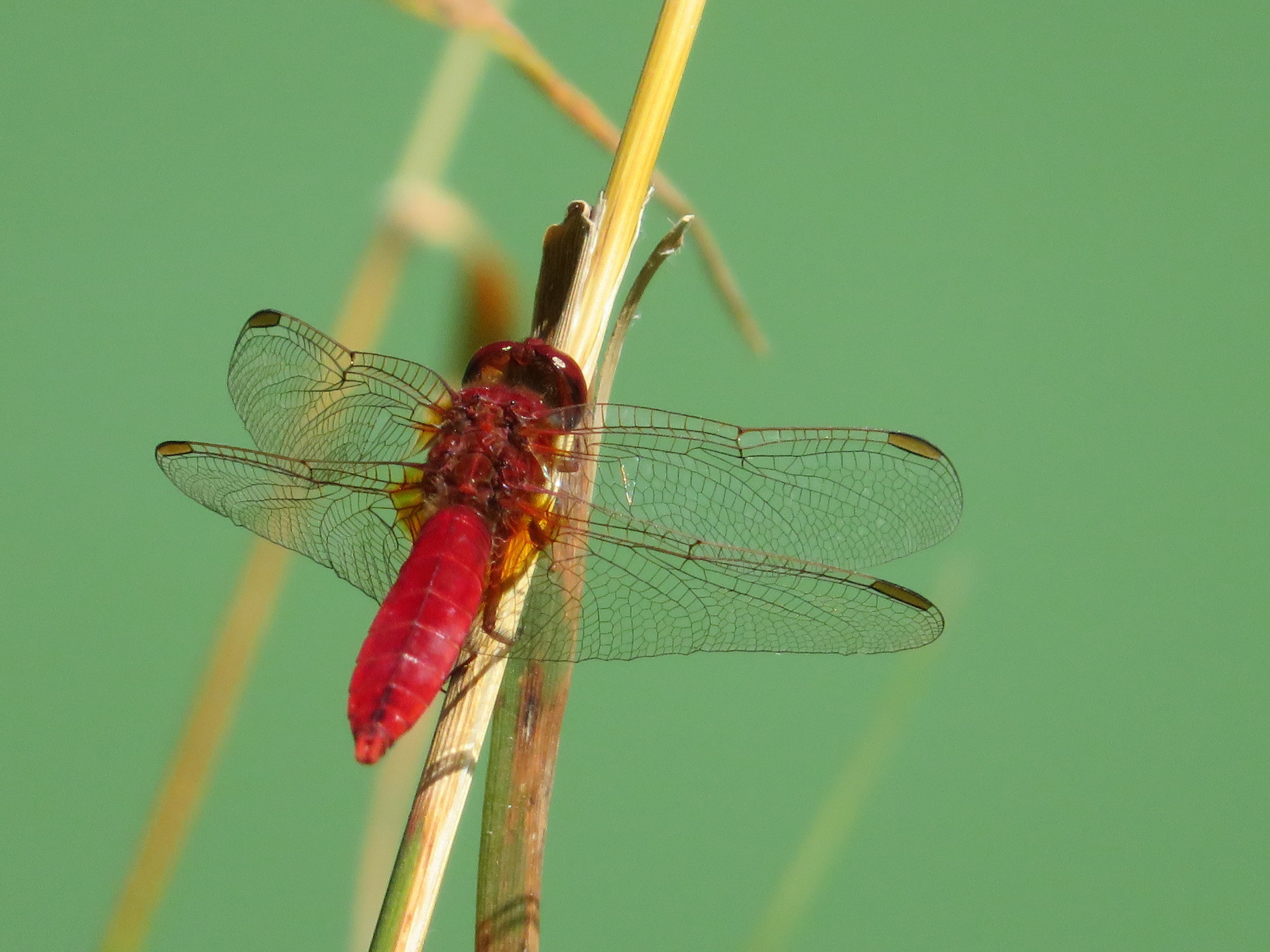 chatelraold-laChausee_red dragonfly.JPG