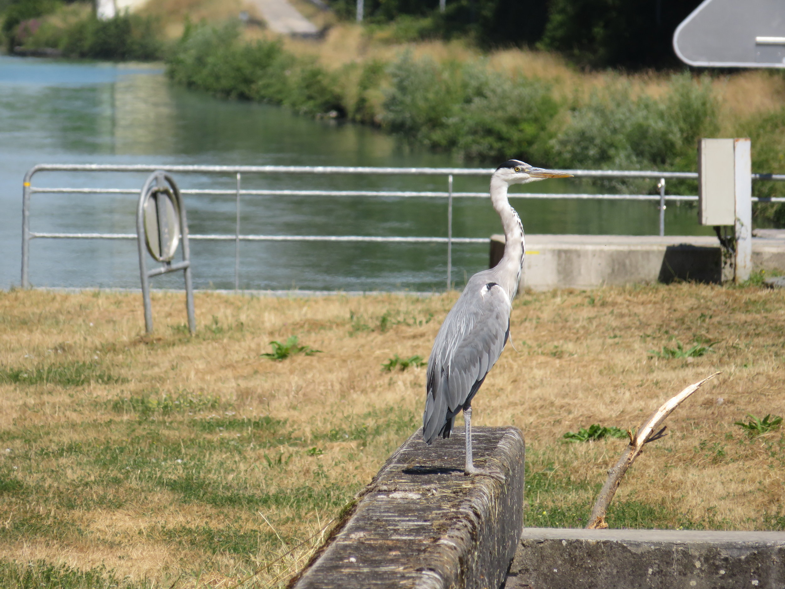 chausee-chalons_heron at the locks.JPG