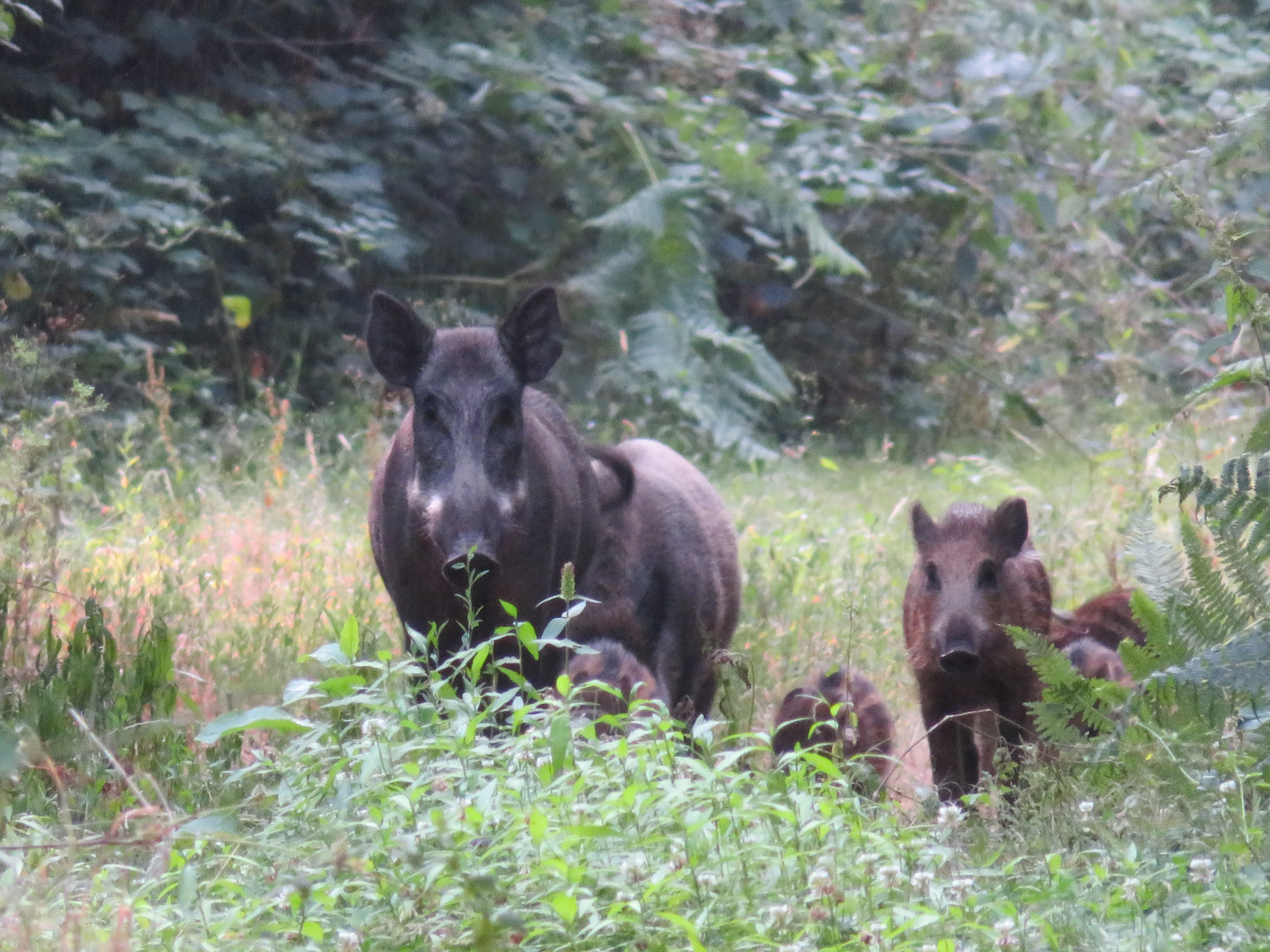 The whole Boar family was trotting towards us.