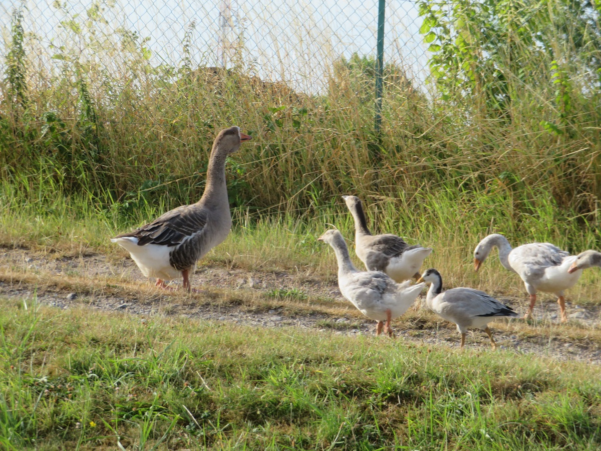 There's always something to keep us amused. If it's not boars, it's a gaggle of geese on the wrong side of the fence.