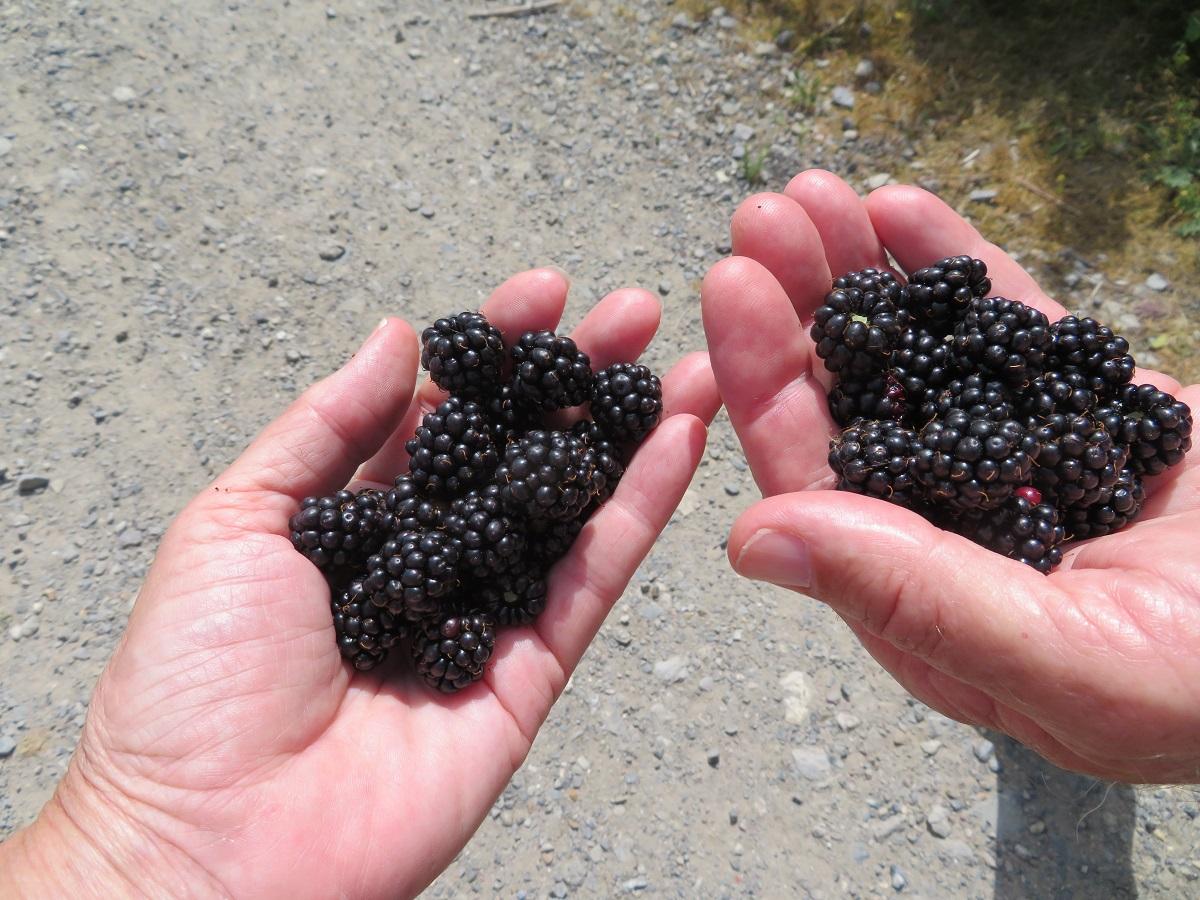 Fresh, ripe, luscious blackberries!