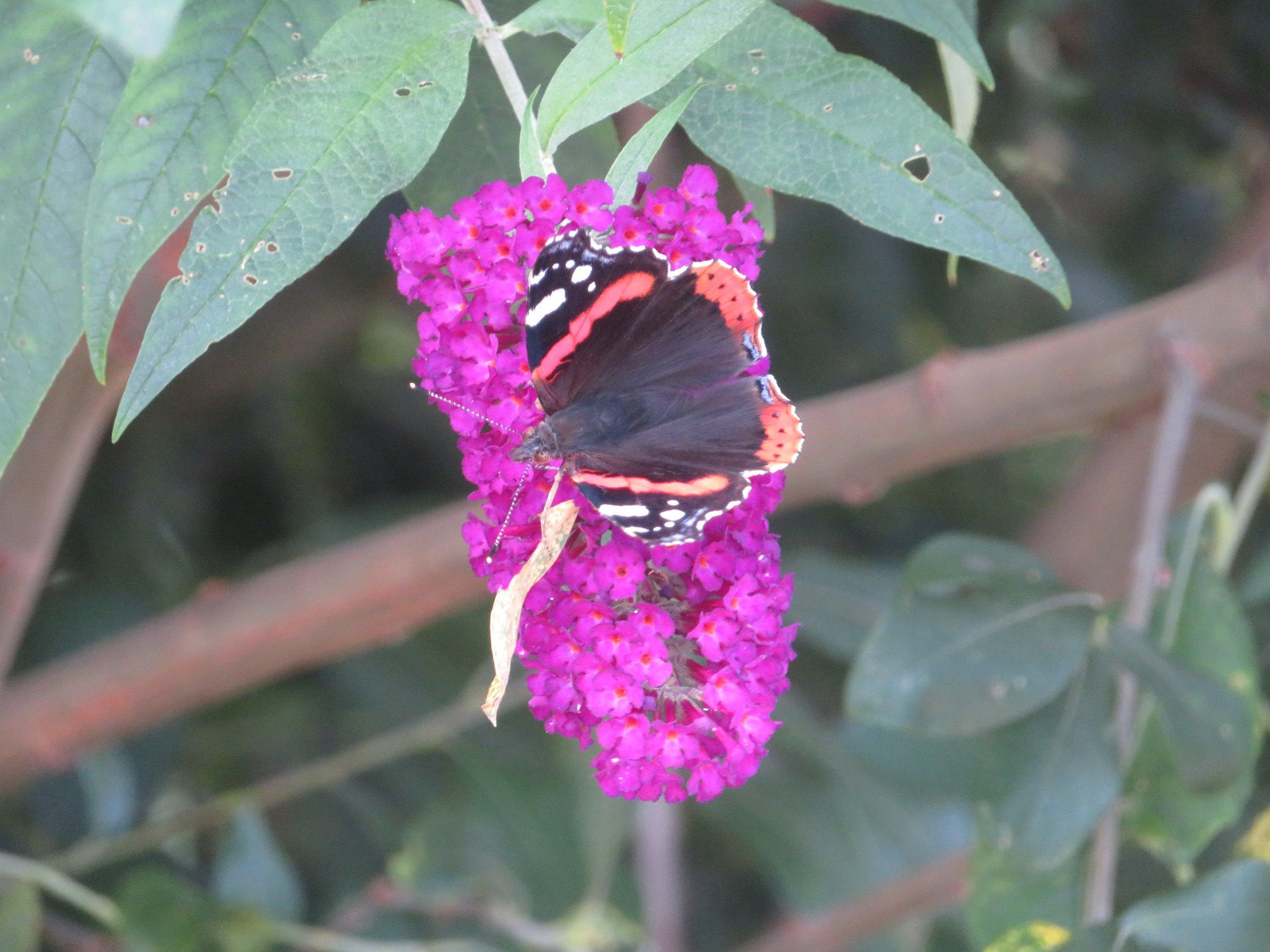 Red admiral butterfly along the canal