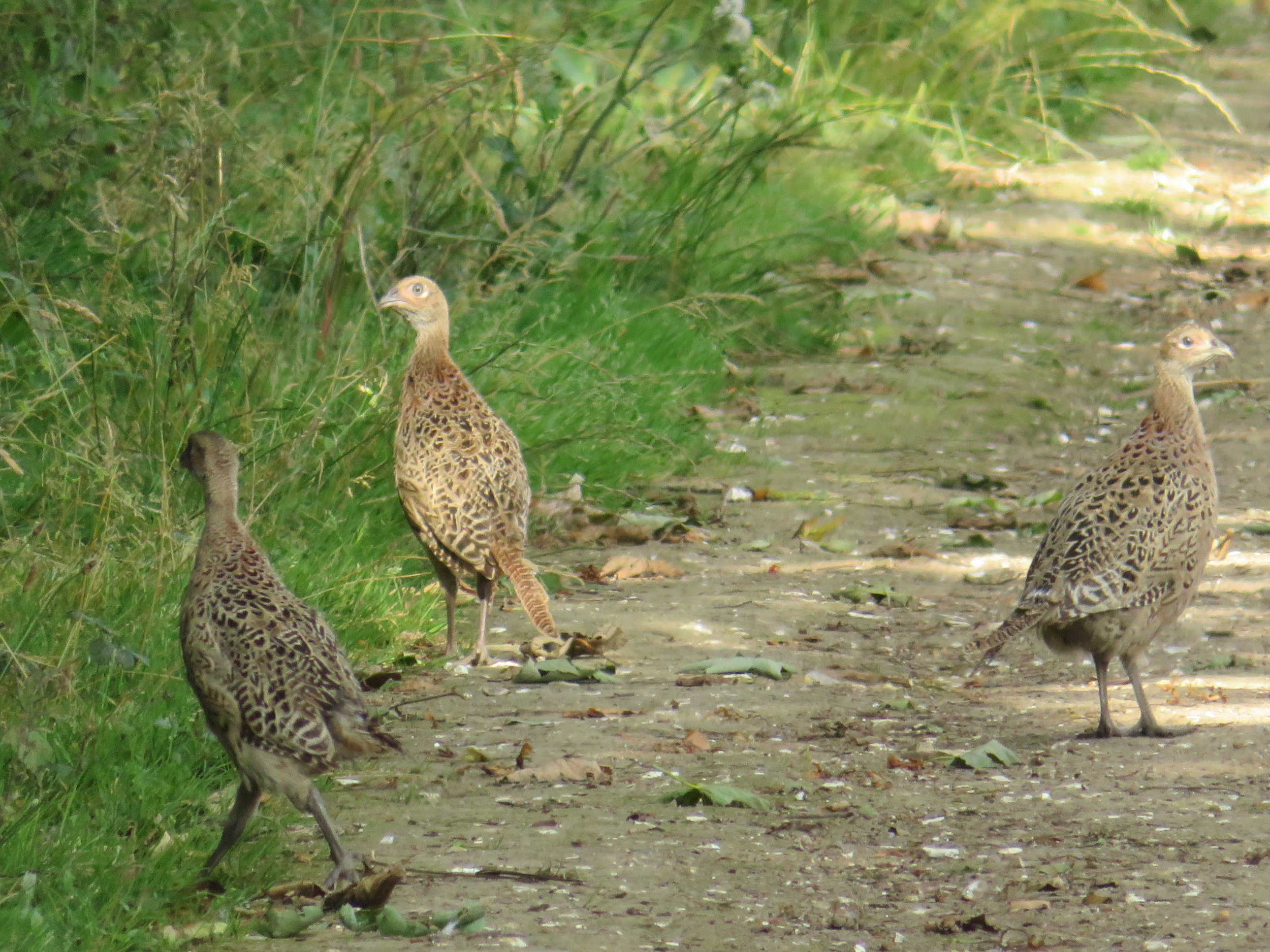 A covey of pheasants scurried along the path in front of us, clearly startled by our presence, but seemingly unable to get off the path and out of our way … or each others, for that matter.