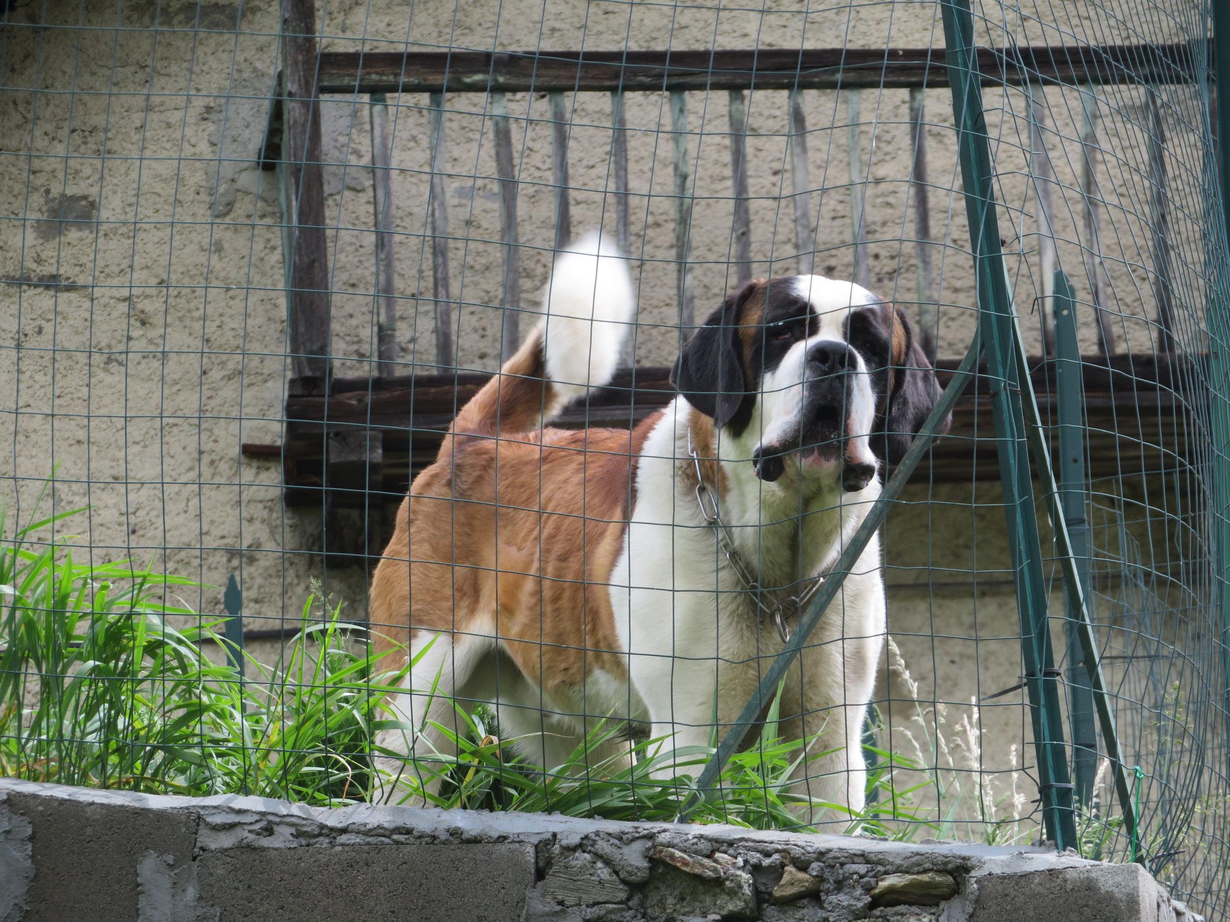 The Swiss dogs were big!