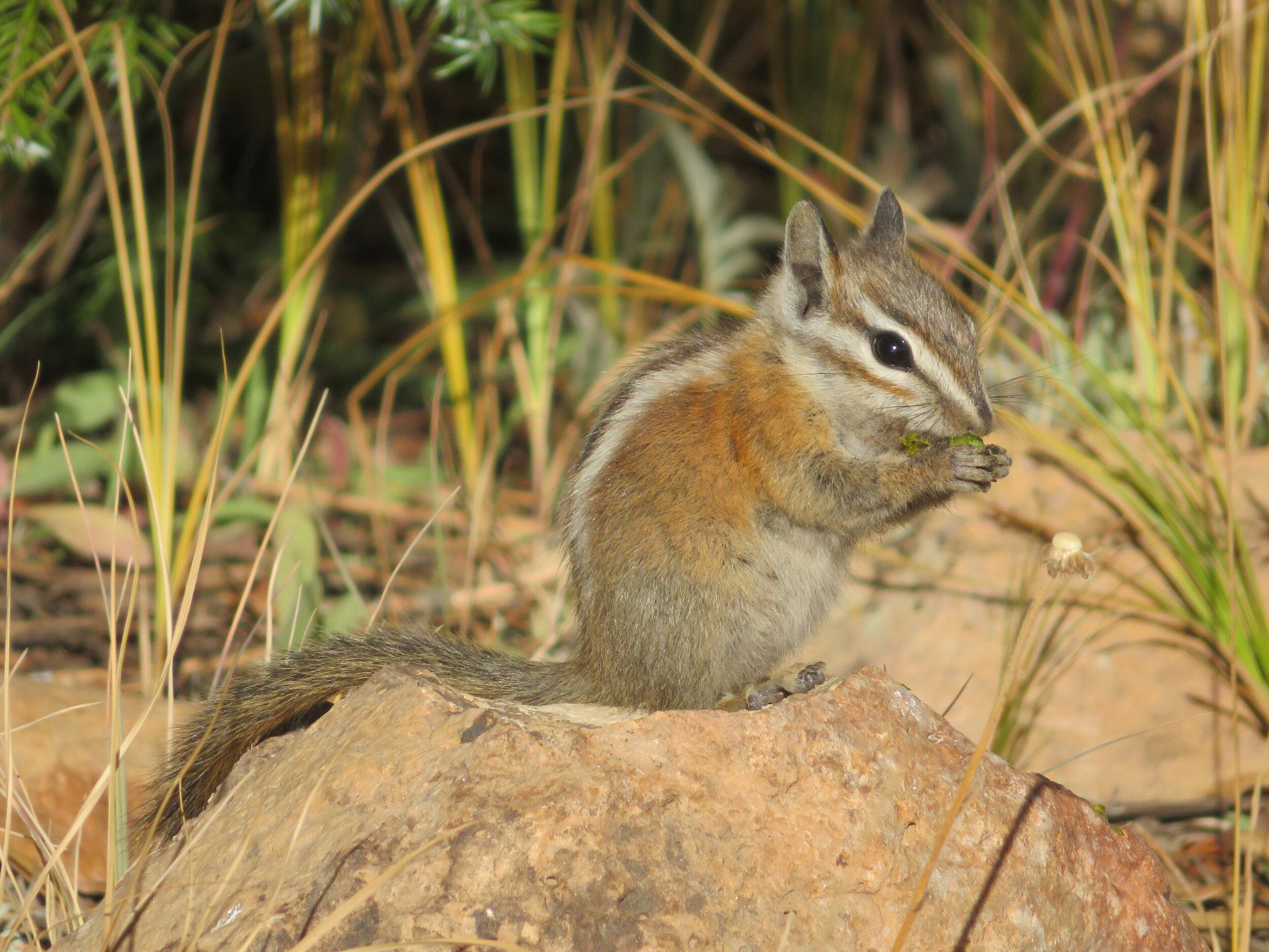 gcnp_ground squirrel.JPG
