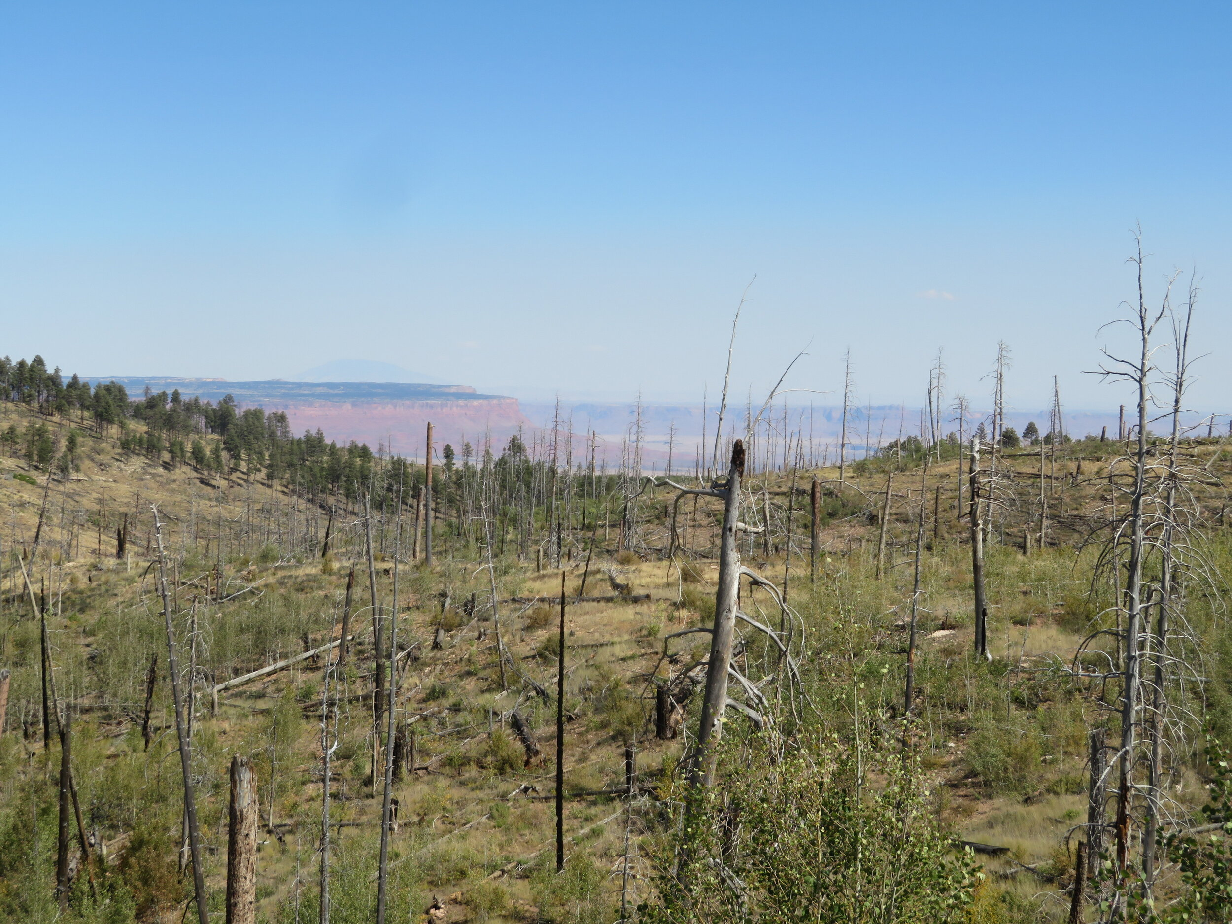 Kaibab Forest burn area (2006) is slowly being reclaimed by aspen.