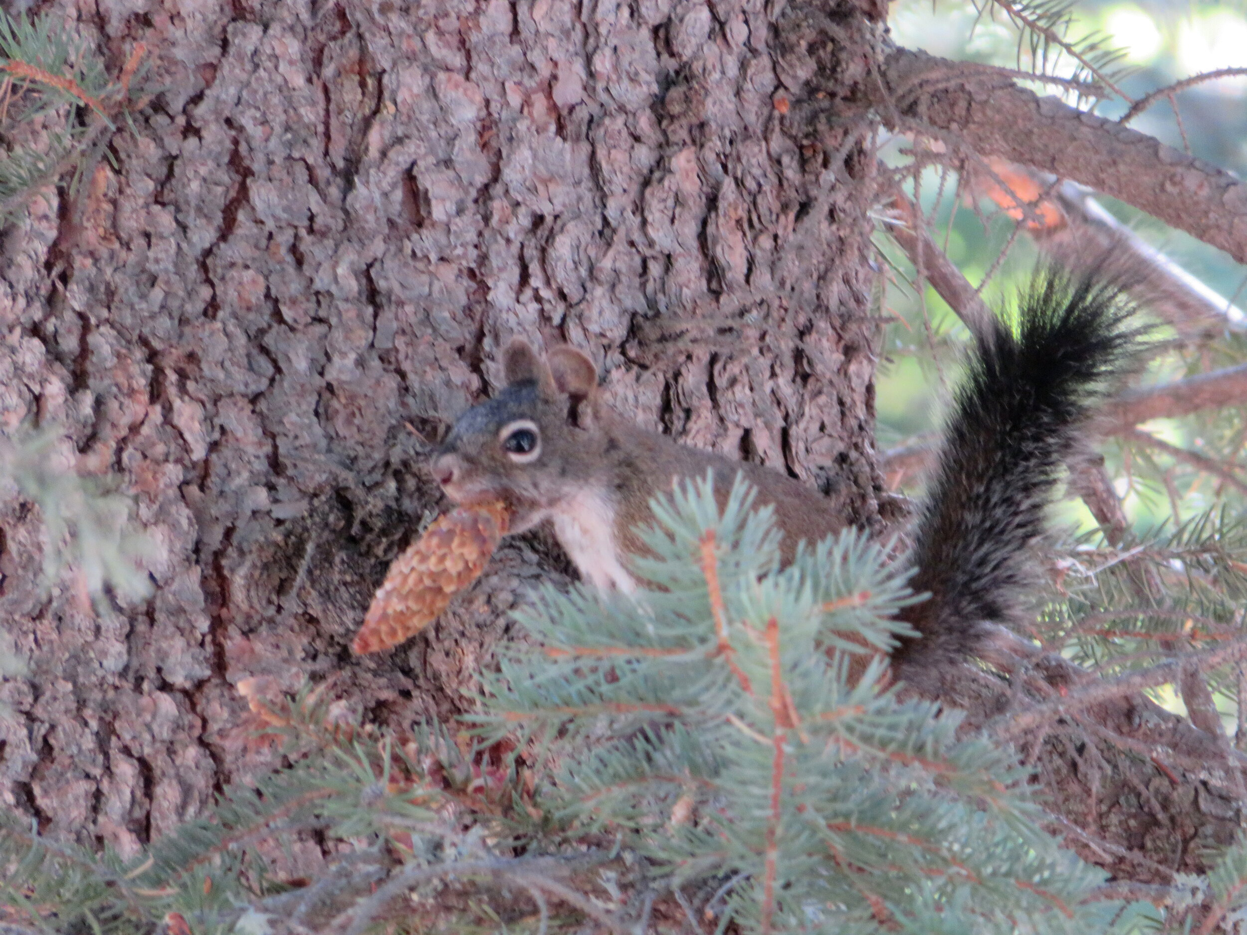 An Arizona gray squirrel gets ready for winter.