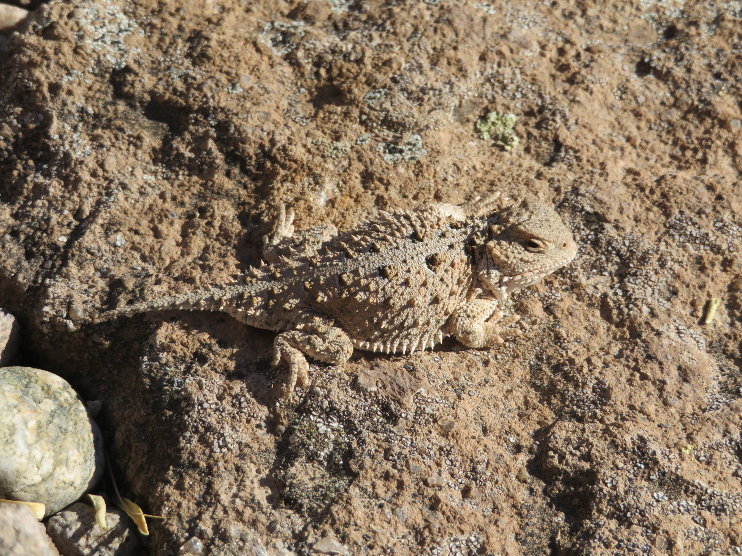 The only critter we met along the trail was a short-horned lizard sunning himself on a cliffside rock.