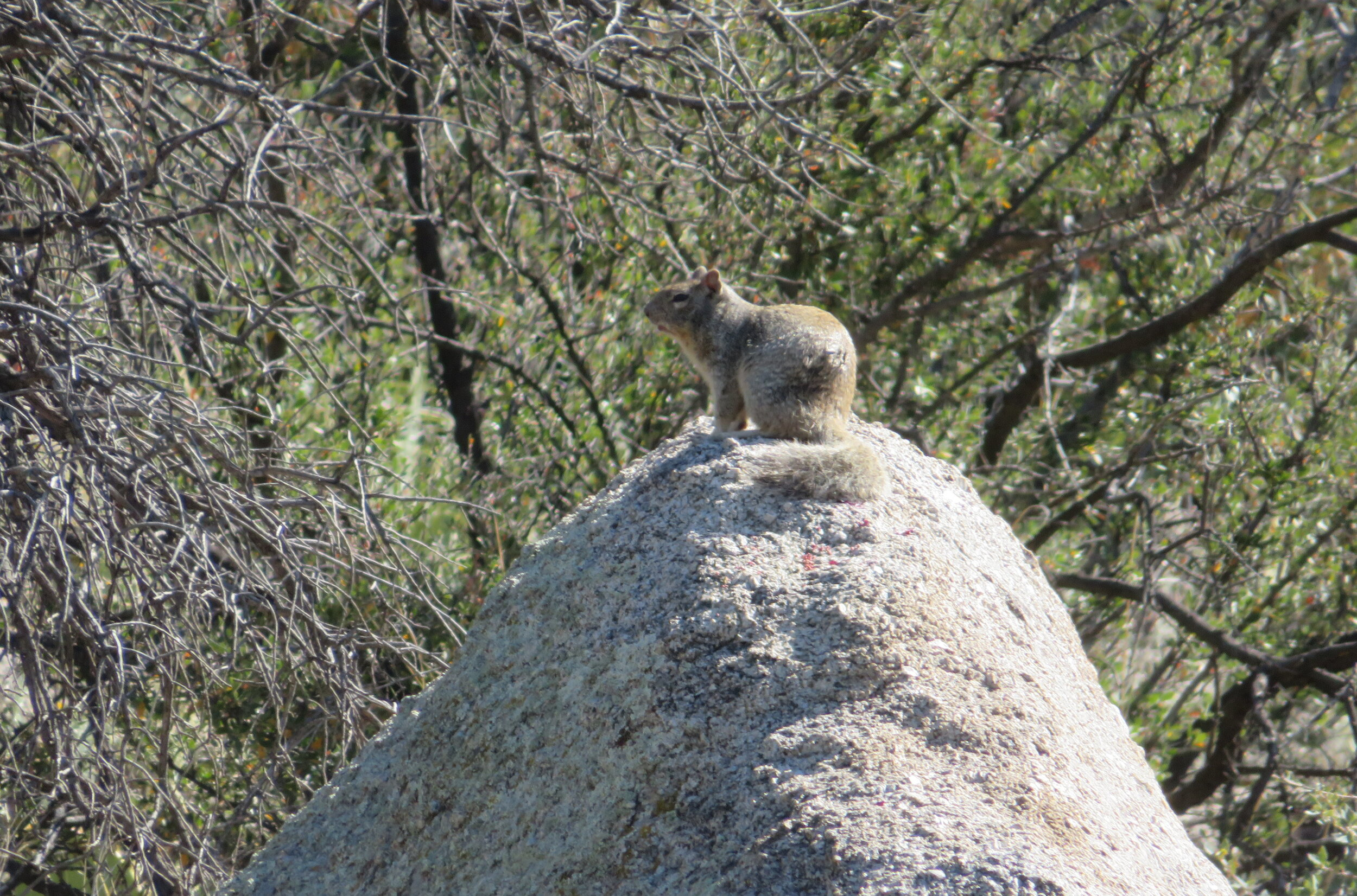 A rock squirrel gives us an earful.