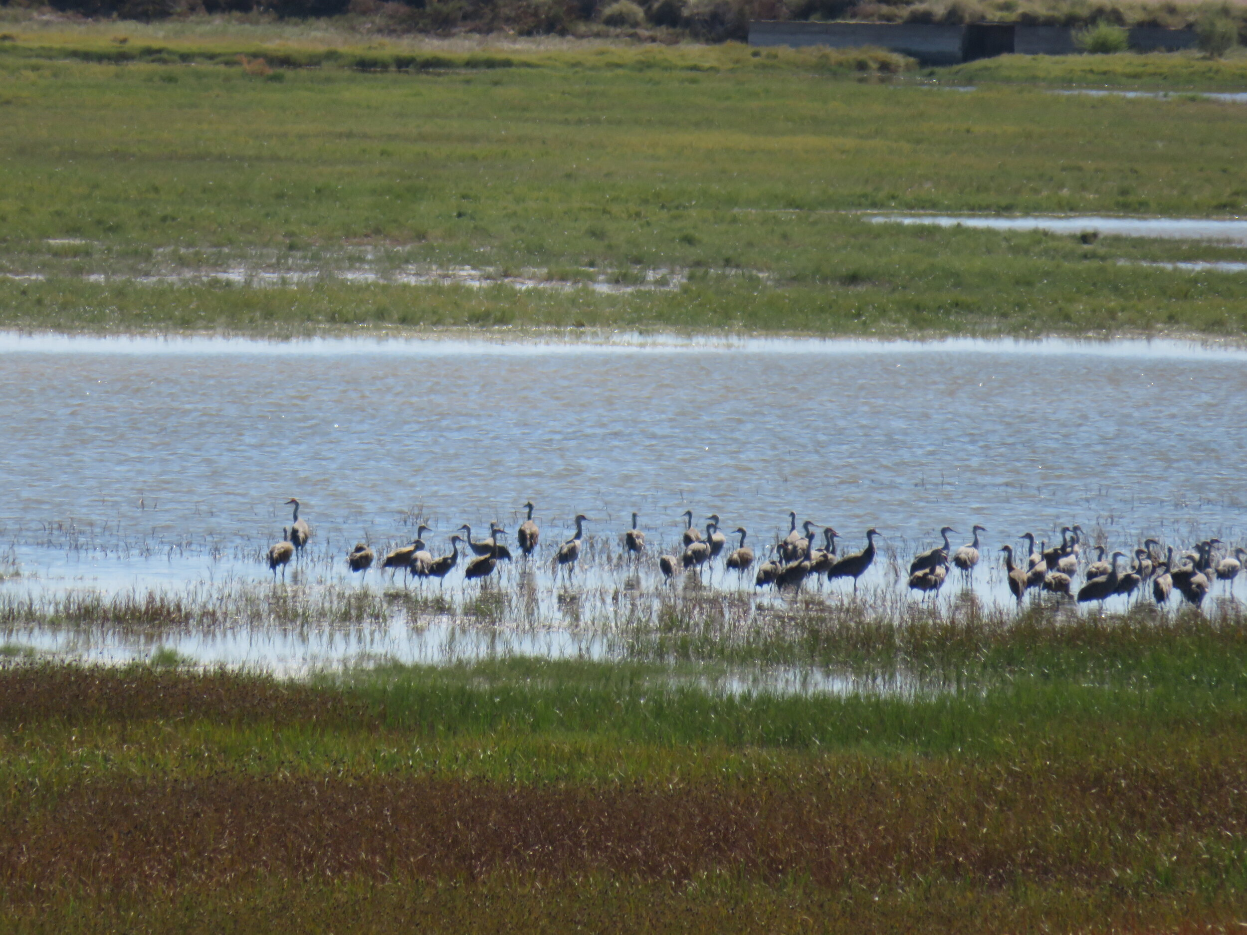 The sandhill cranes are back, but we could only see them at a distance.