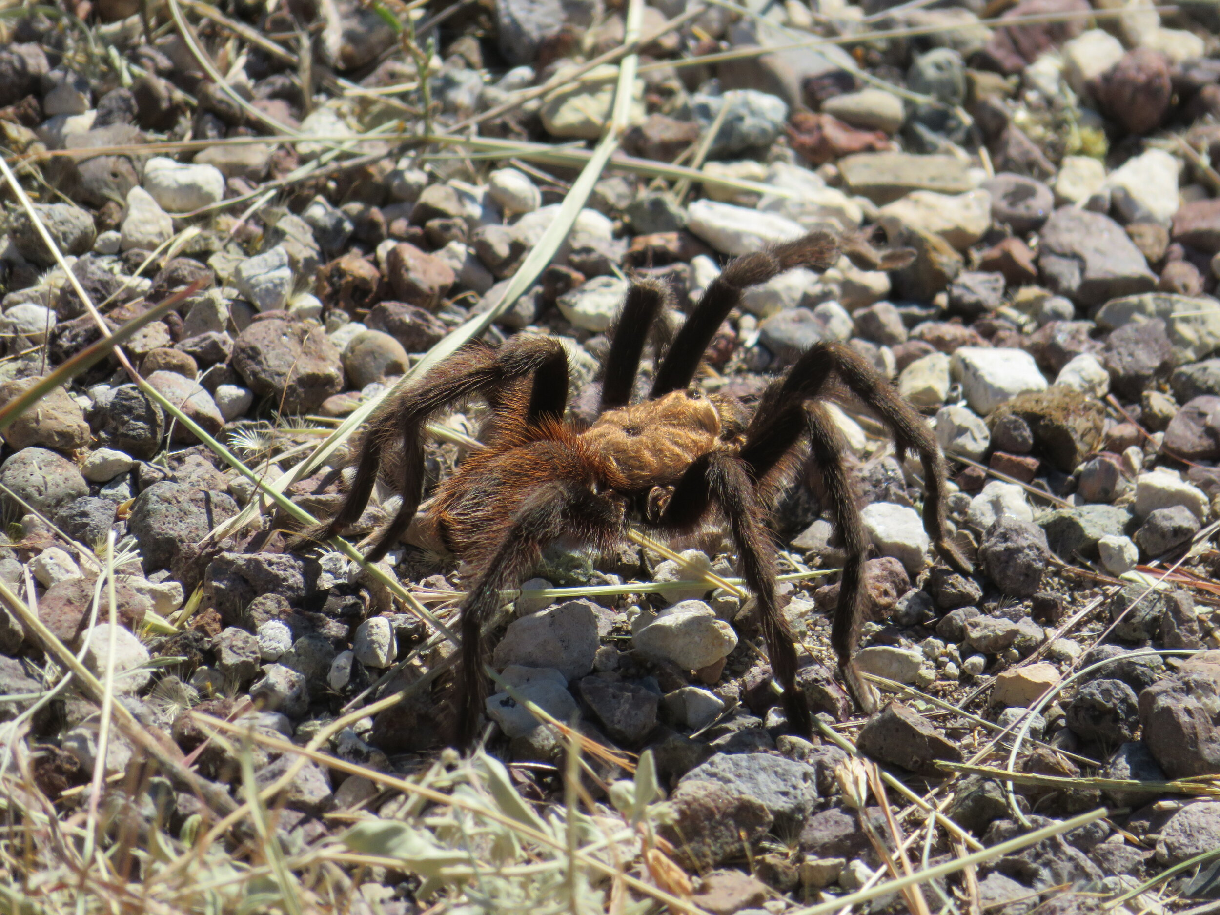 Why did the tarantula cross the road? Obviously to give me goosebumps and a photo opp. By the way, there are several different varieties of tarantulas. This one is a Mexican blonde … I kid you not.