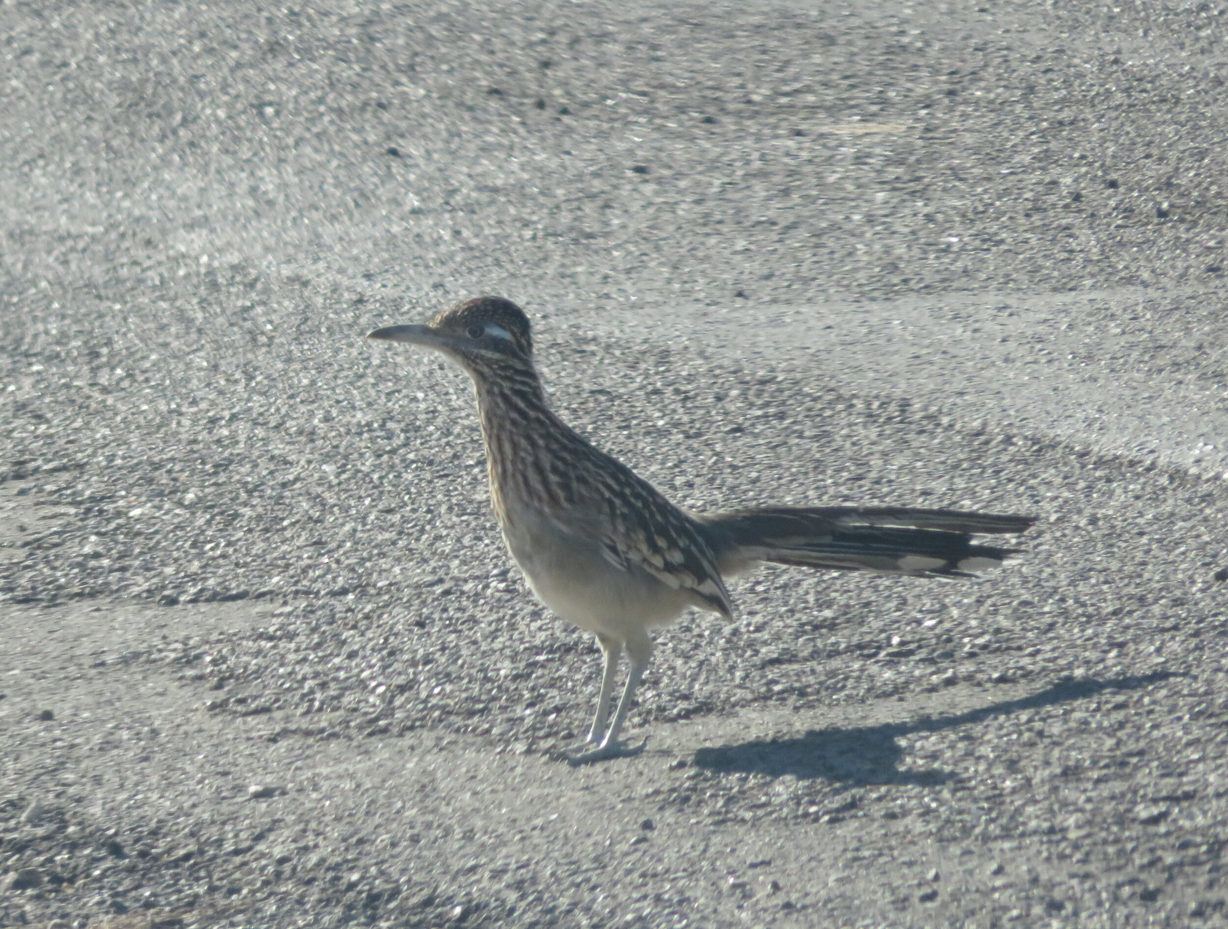 A roadrunner greeted us as we entered the campground. Beep-beep!