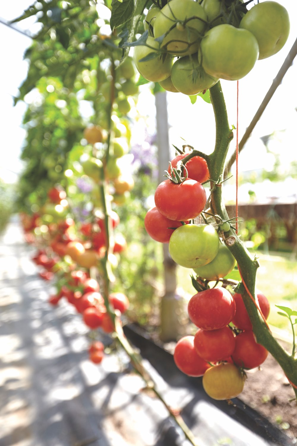 Tomatoes growing on a vine at Ballymaloe Cookery School