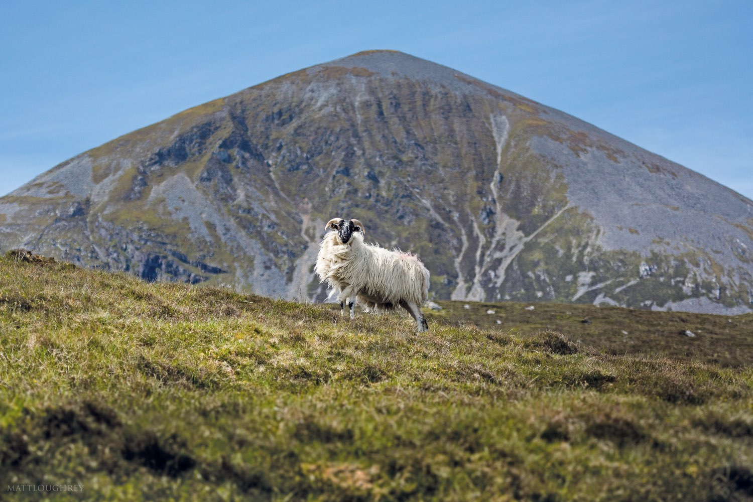 A common sight in Connemara, mountain sheep often dot the grasslands surrounding the foothills of Croagh Patrick.