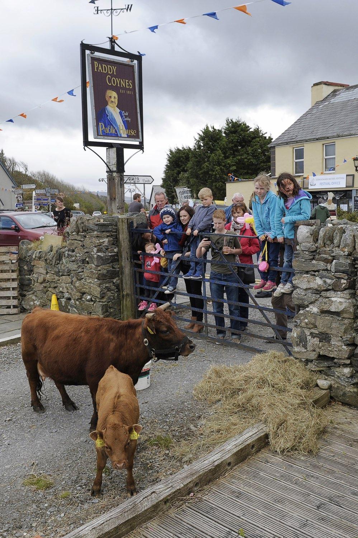 Connemara's smallest cow