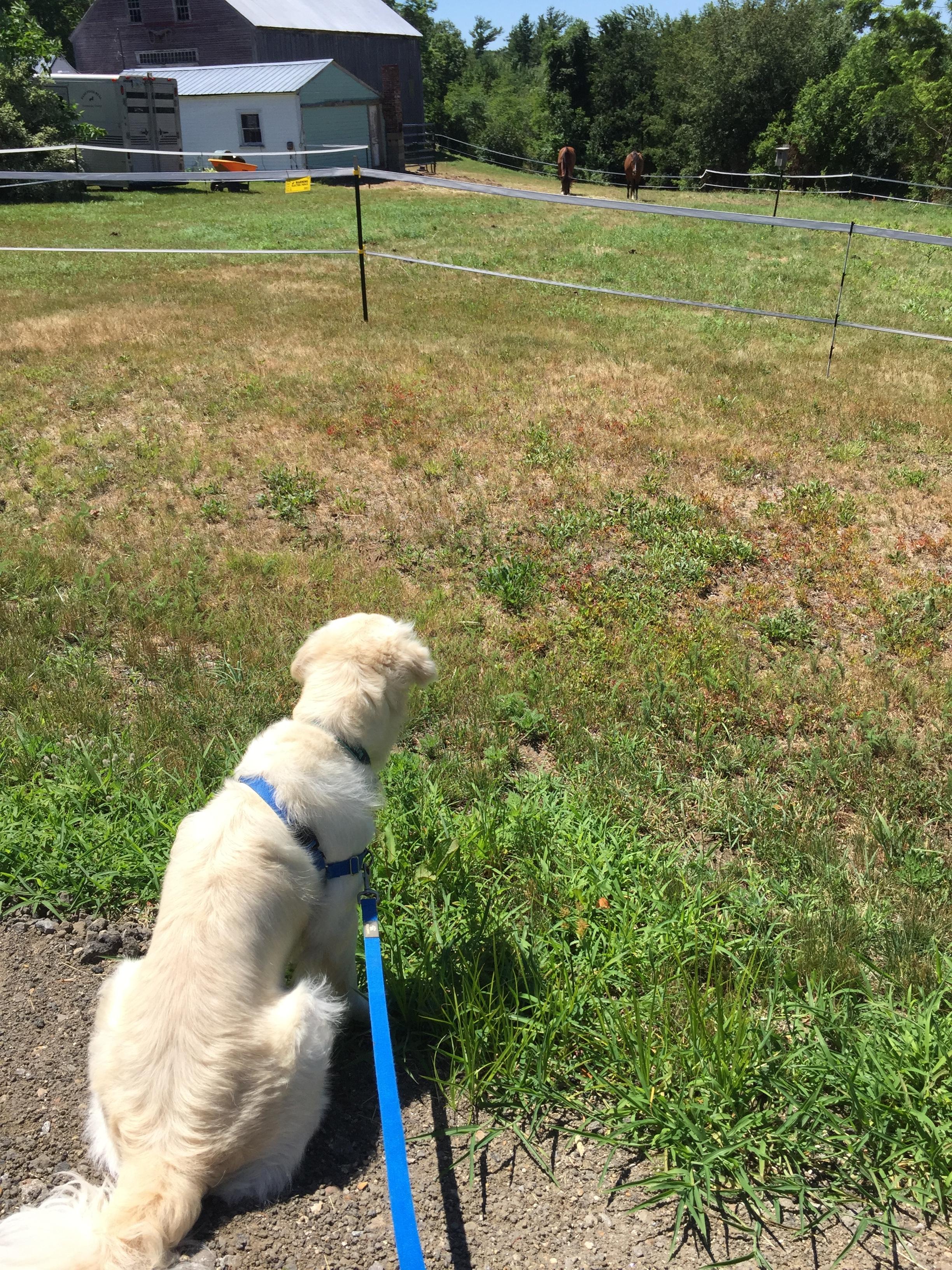 Homeward Bound Dog Walking Lakes Region, NH  Golden Retriever watching horses in the summer