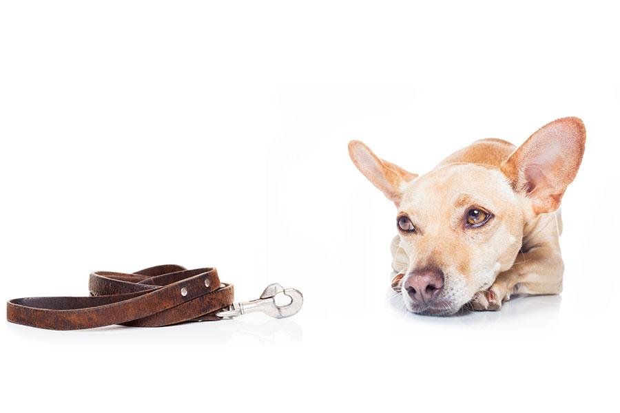 Homeward Bound Dog Walker