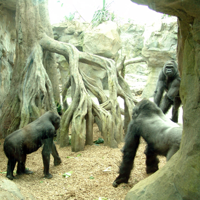 Conversion of interior gorilla habitat, and environmental enrichment design & fabrication