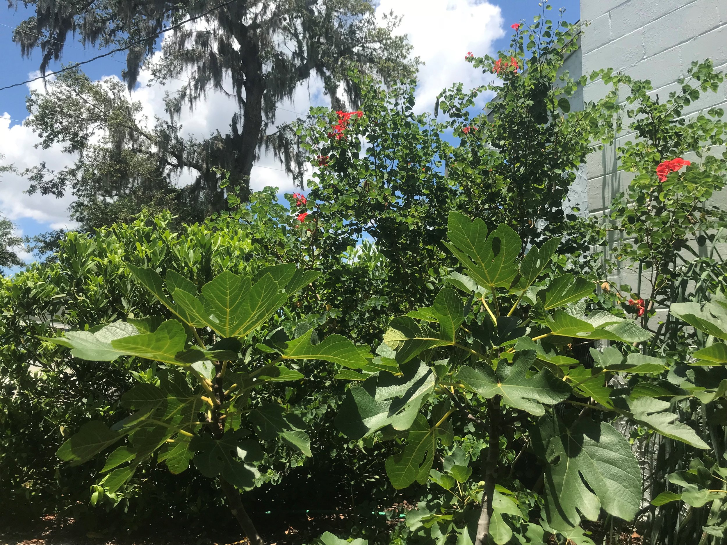 Brown Turkey Common Figs in foreground, the African Orchid Tree back right, and Florida Anise back left, framed by Live Oak.