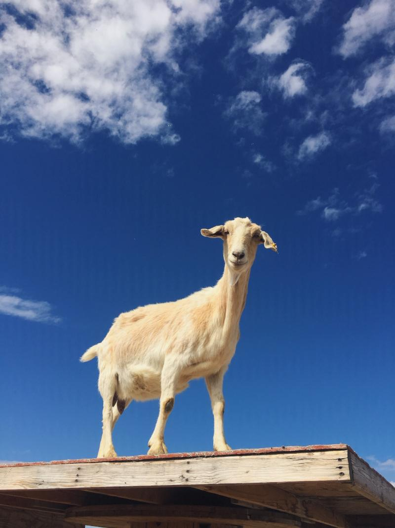 East African Refugee Goat Project of Utah - Goats For Rent.jpg
