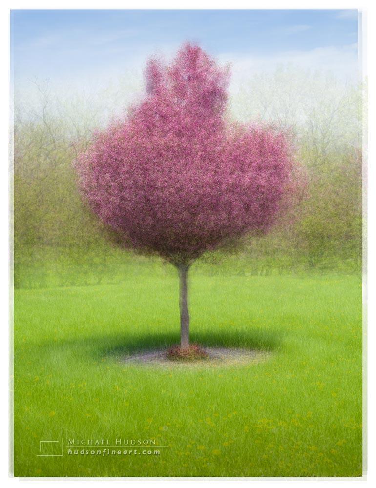 Crabapple tree, Illinois