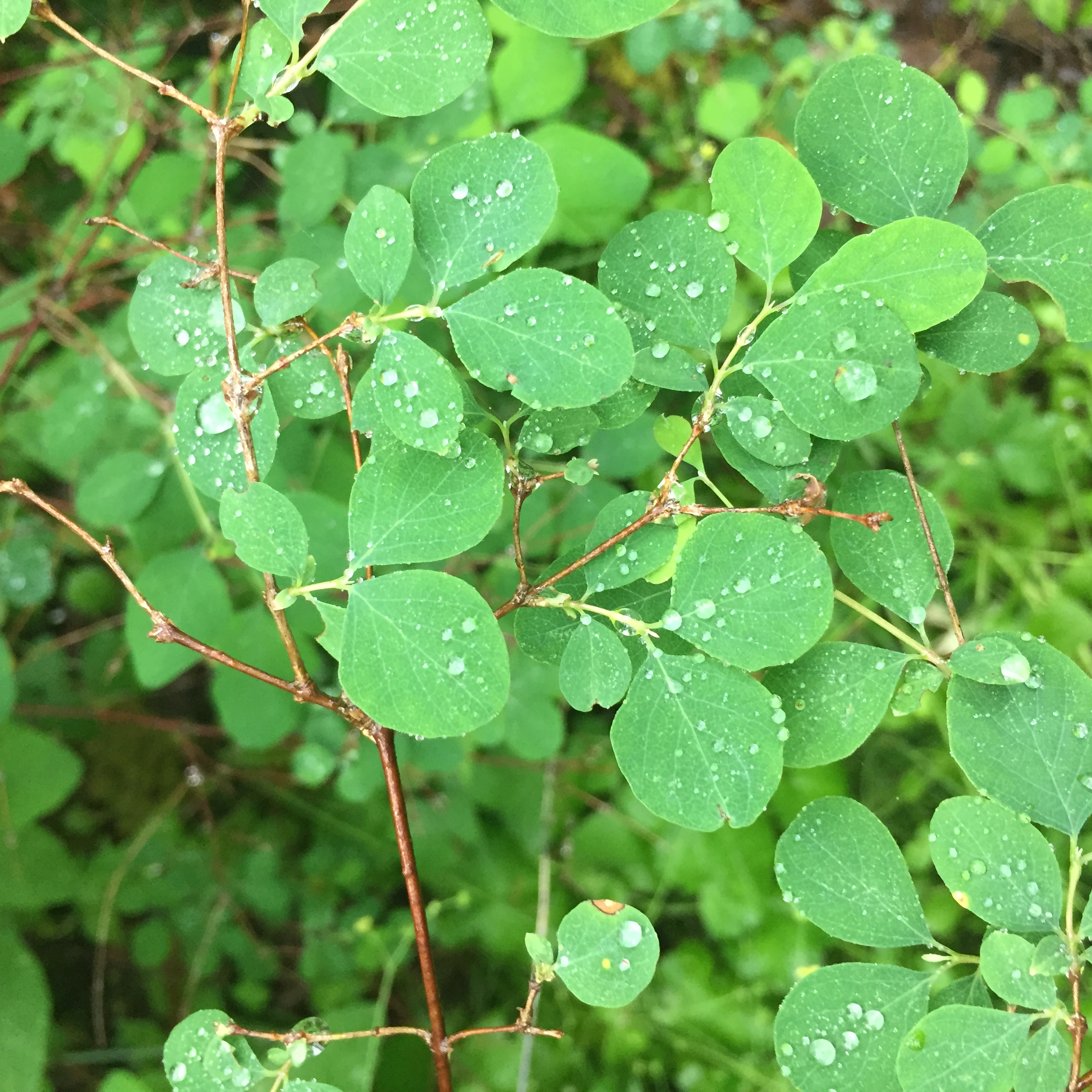 Small, round, bright green leaves from a snowberry plant.