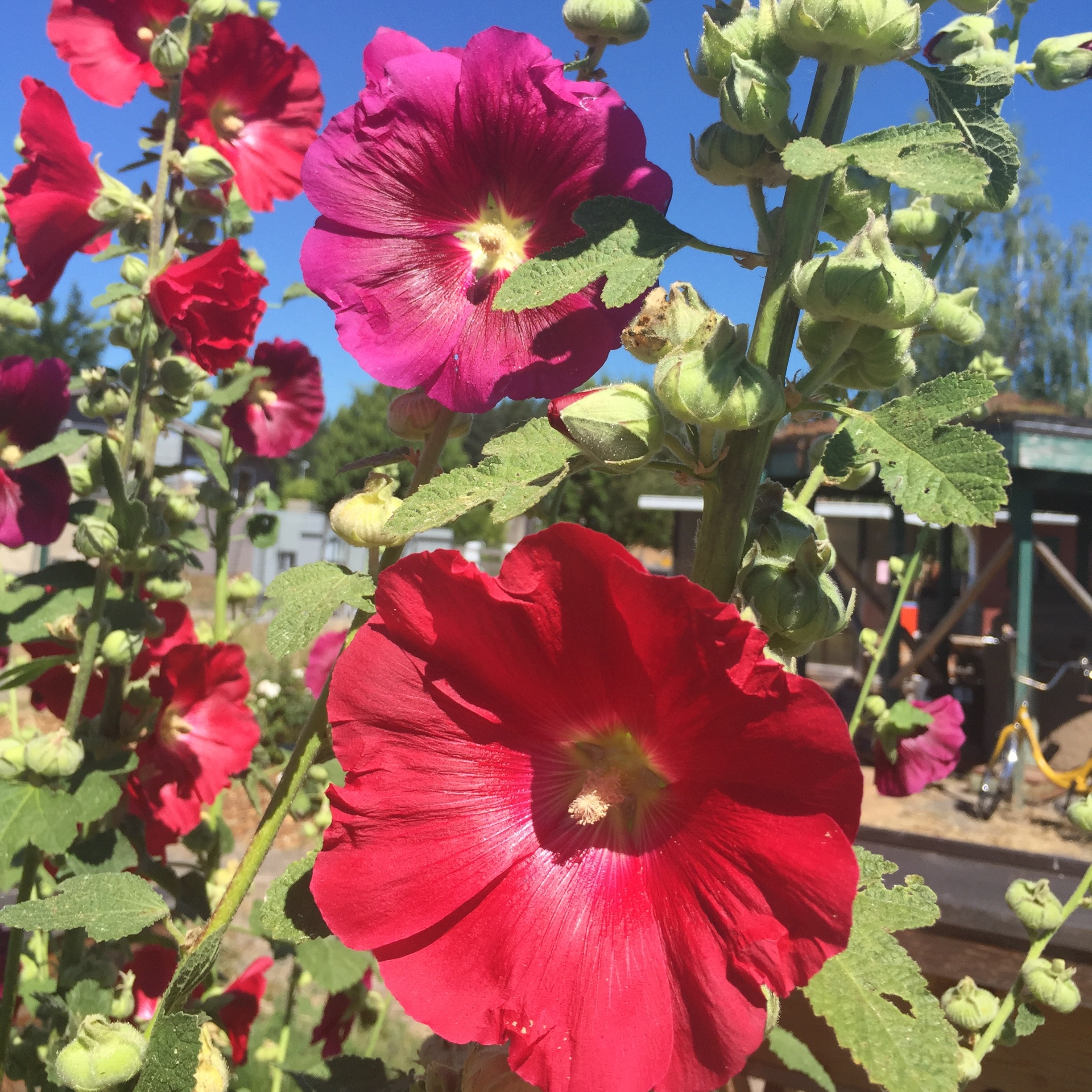 Bright red flowers from a hollyhock plant.
